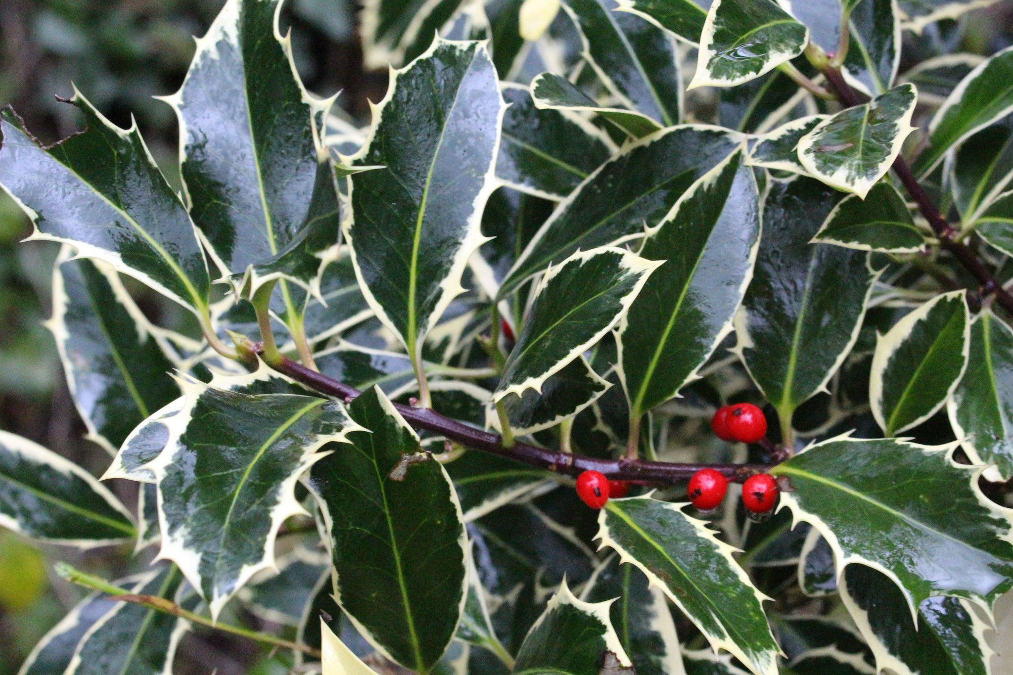 About this cultivar Ilex aquifolium Handsworth New Silver is a female pact