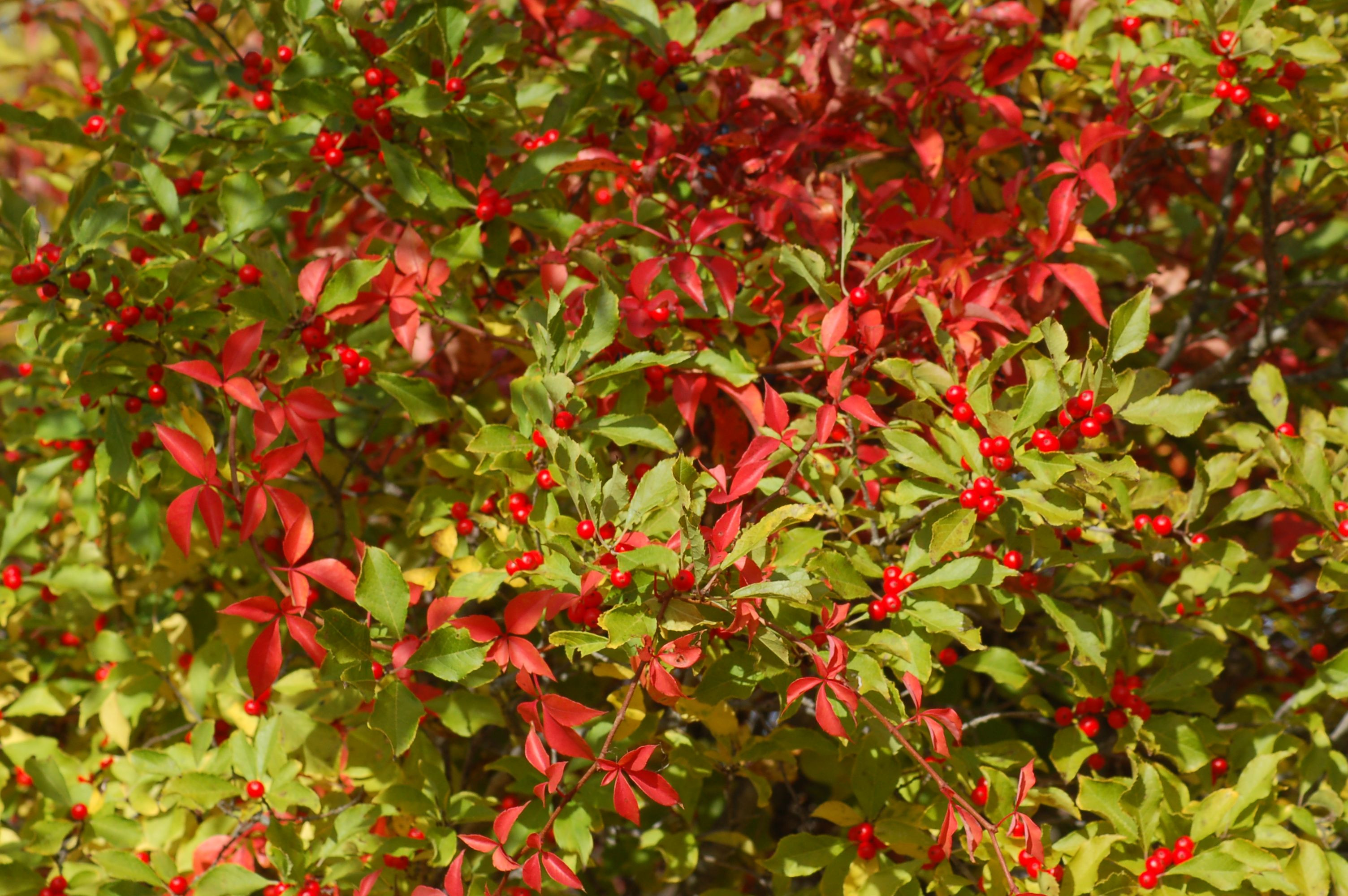 A Virginia creeper vine bearing red leaves has draped itself over a winterberry holly in this picture Read all about winterberry shrubs here