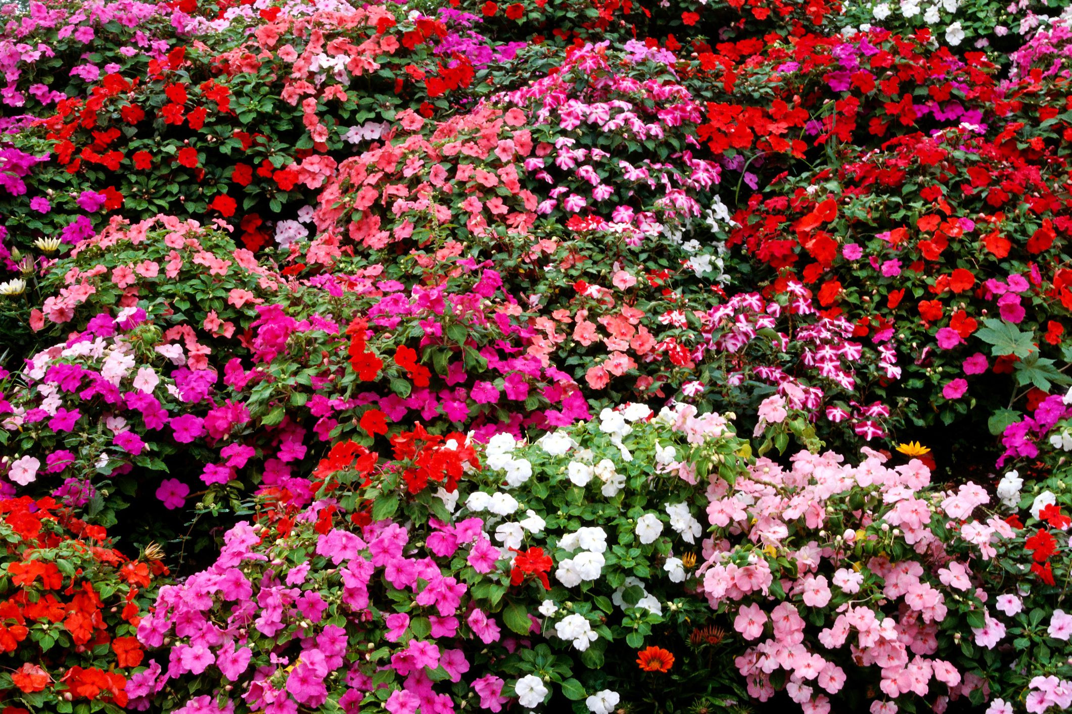impatiens mixed colors big 592f2e103df78cbe7e3dc5f5