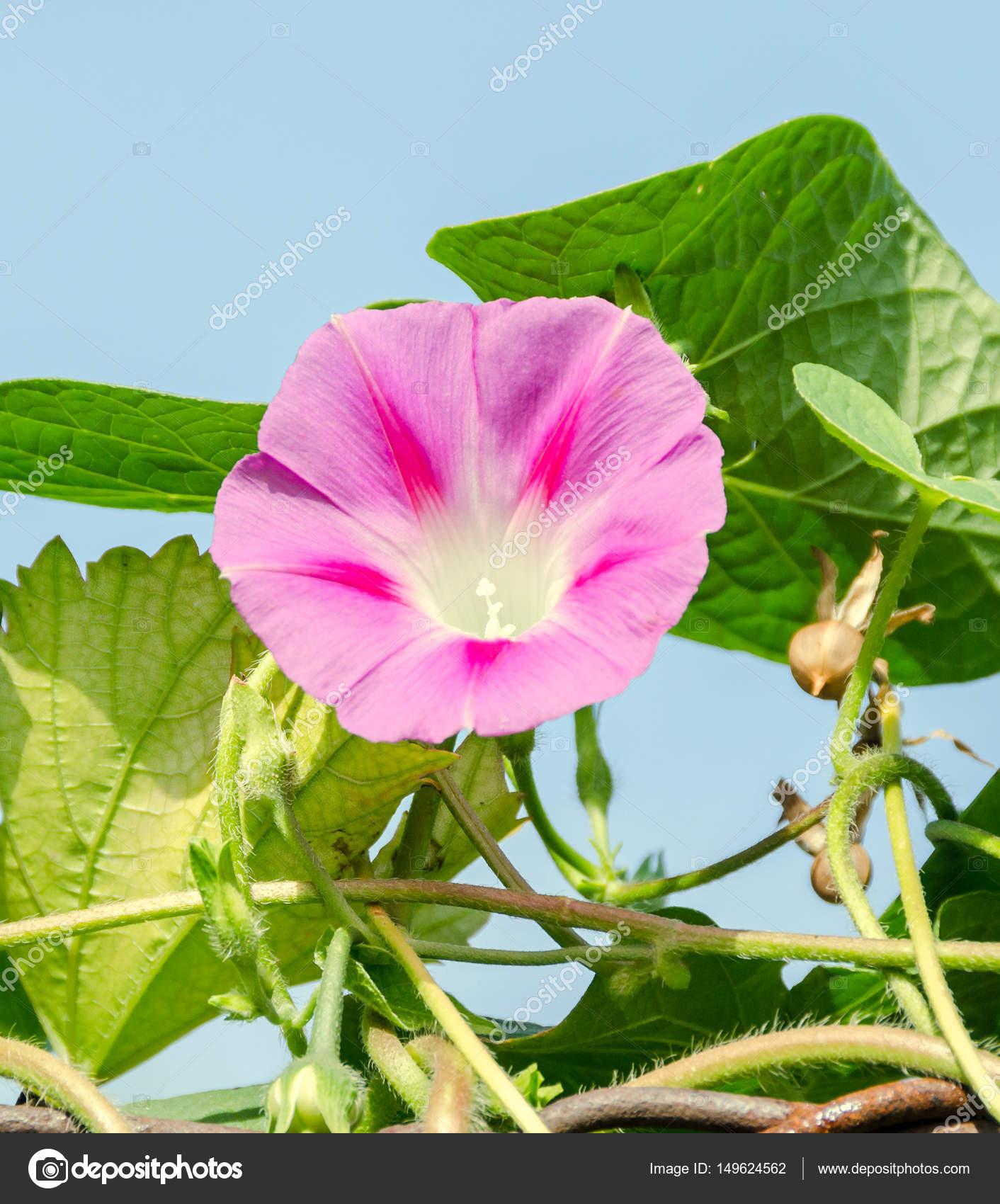 Ipomoea purpurea růžov½ květ fialová vysok½ nebo společné hezké vstáván zblzka — Fotografie od ncristian