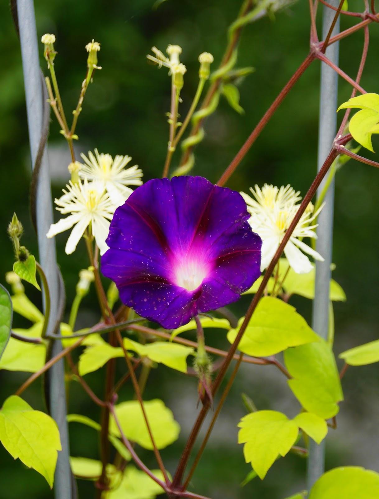 Ipomoea purpurea og Clematis Summer Snow Klatrende sommerblomst med ny partner og humlebes¸k