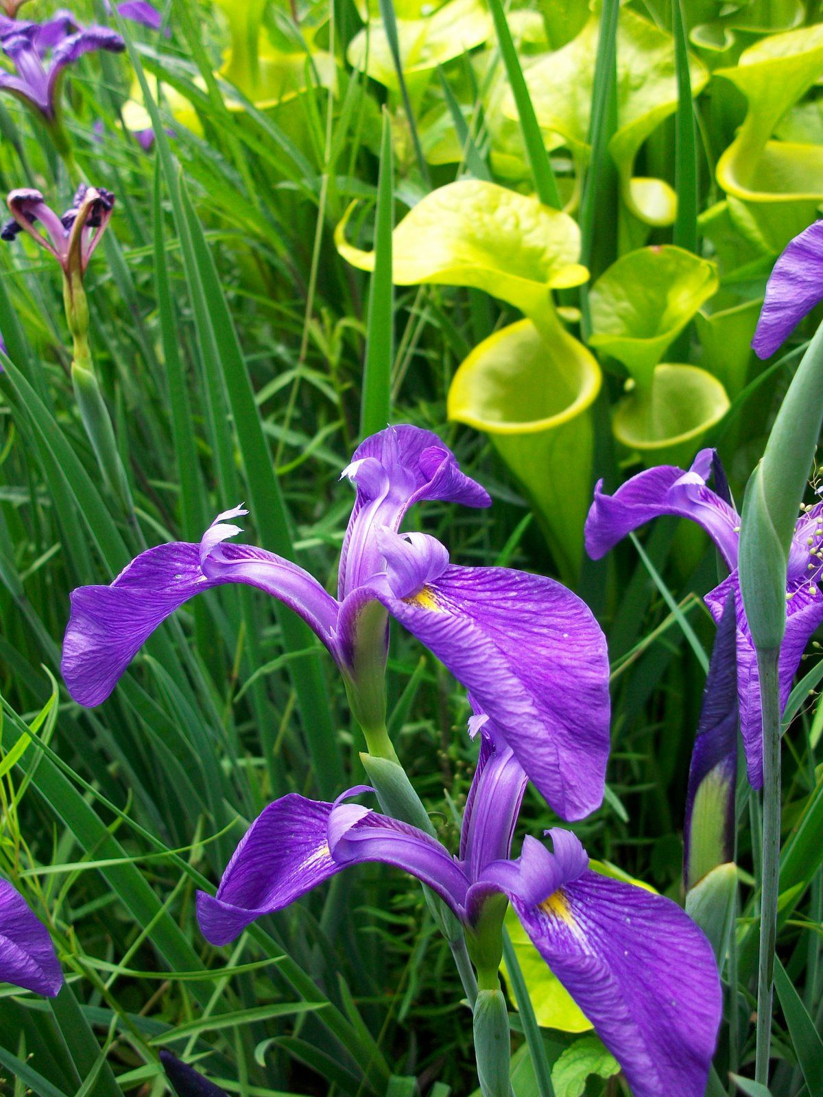 Iris tridentata is found in Southeastern United States often in Carolina Bays and Pine barrens