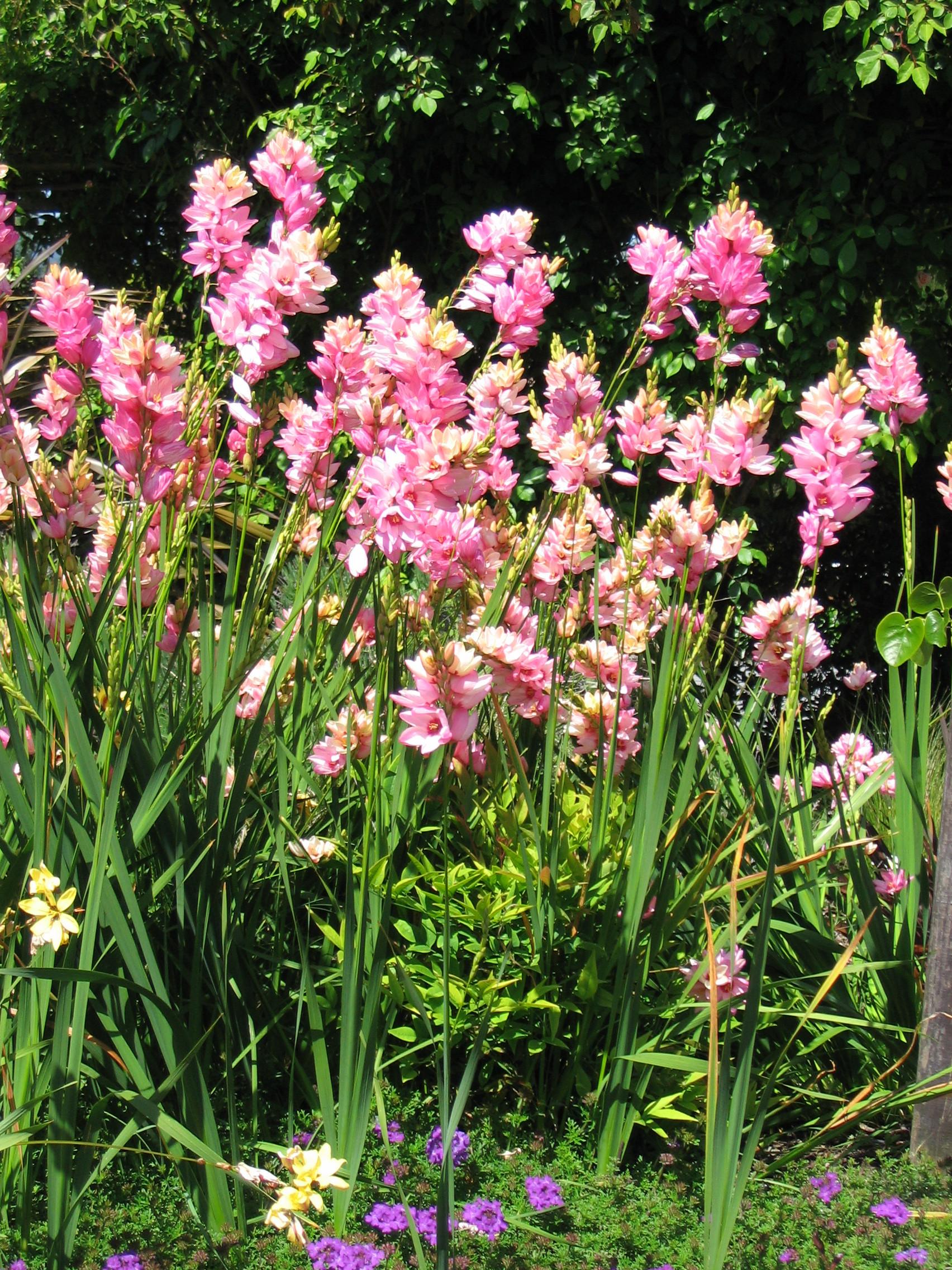 Ixia African Corn Lilies
