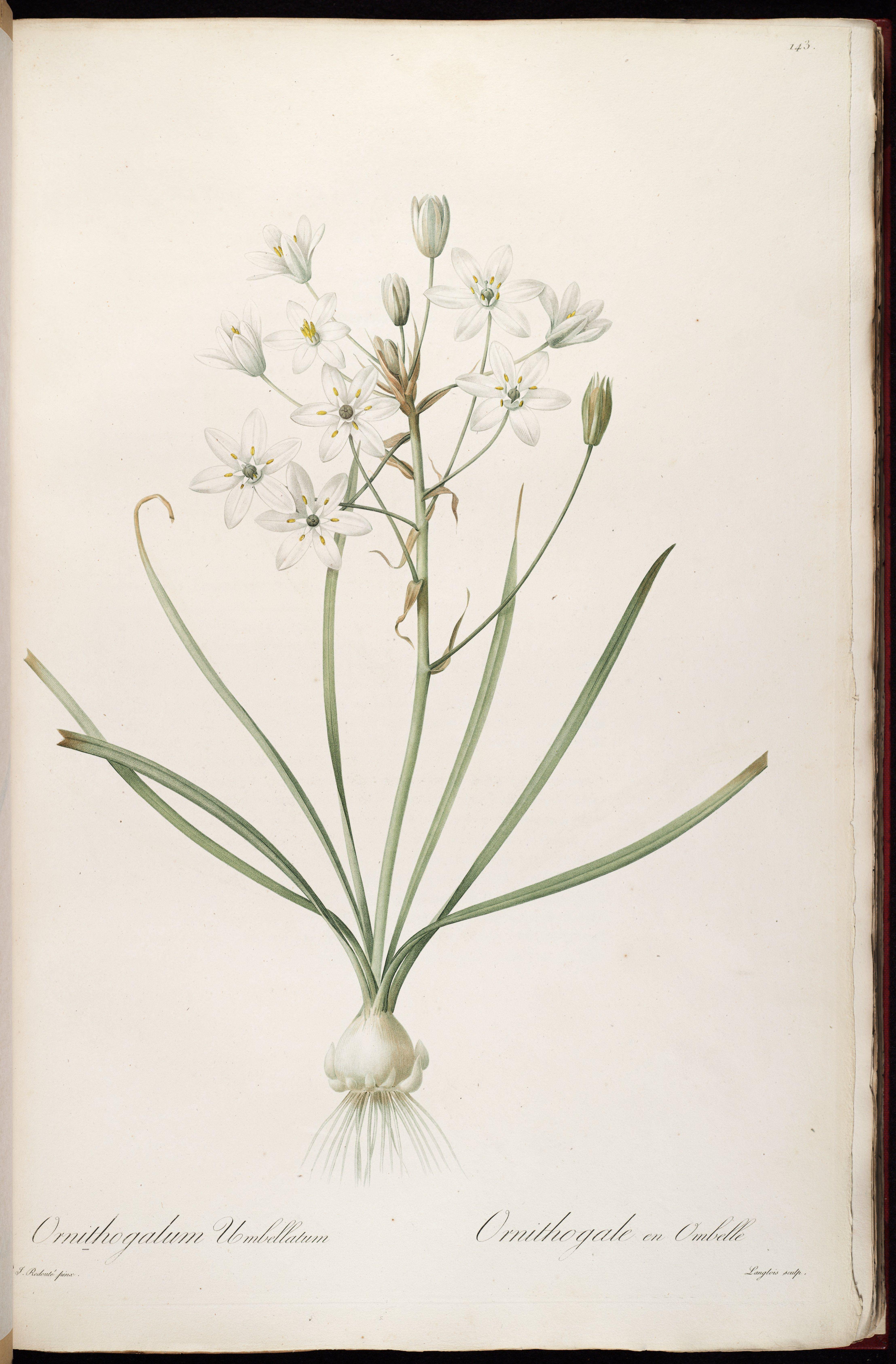Star of Bethlehem Ornithogalum umbellatum circa 1805 1816