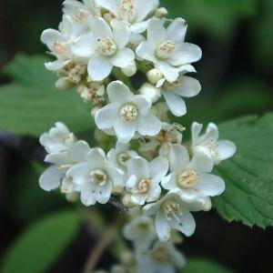 Jamesia Americana Flower Fresh Jamesovka Americká – Wikipe