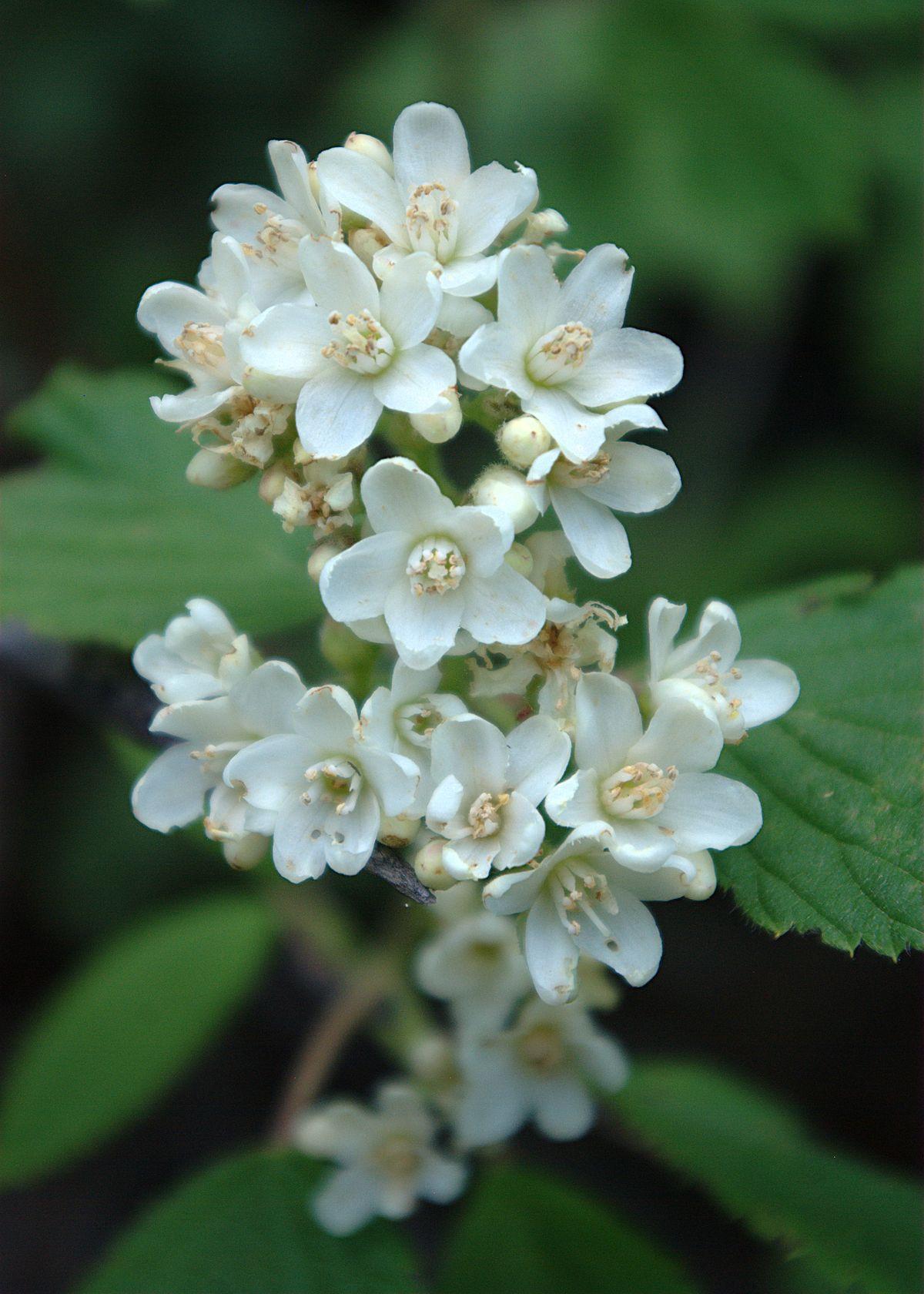 1200px Jamesia americana flowers1
