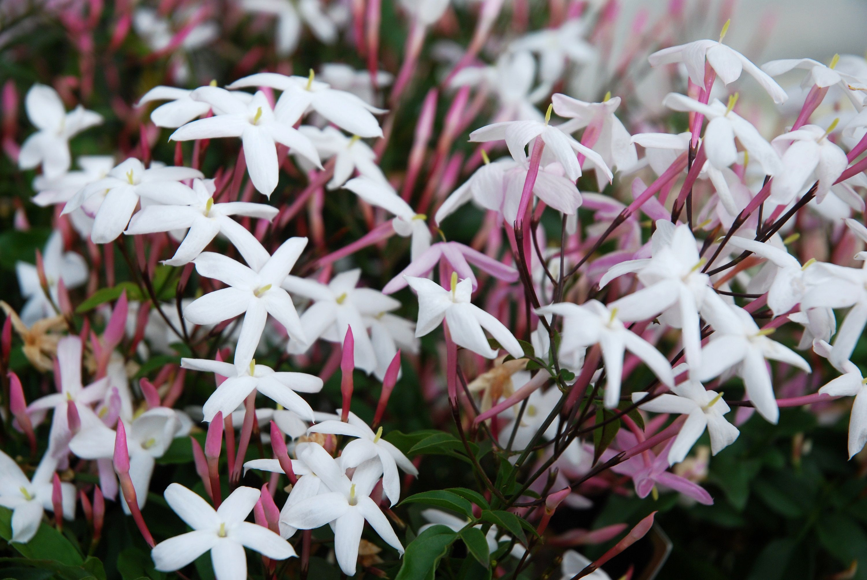 Pink jasmine vine 5796b9585f9b f5cfc8b