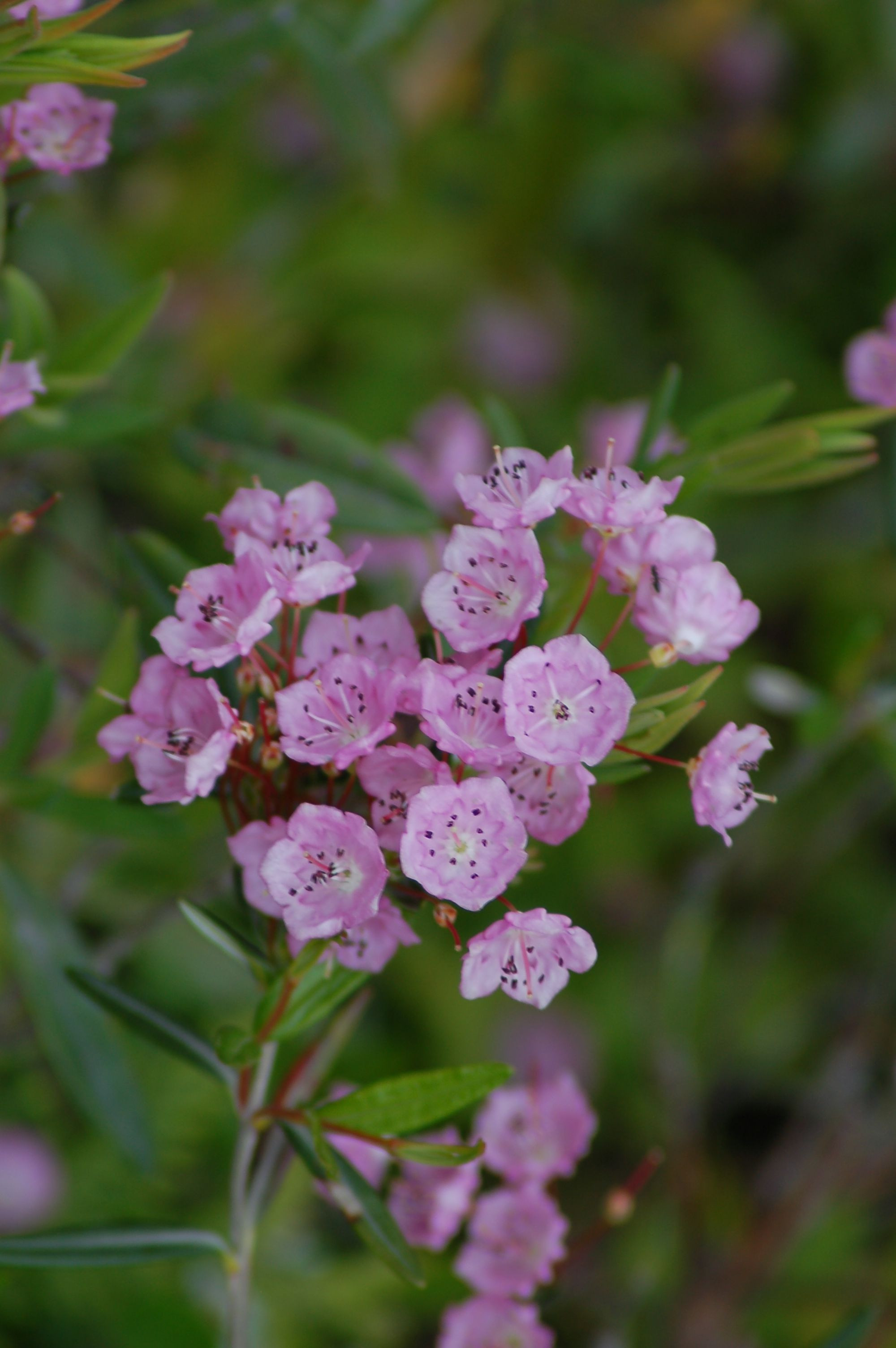 I photographed this sheep laurel bush on the Schoodic Peninusla in Maine In my article on mountain laurel I touch on everything from growing the shrubs to