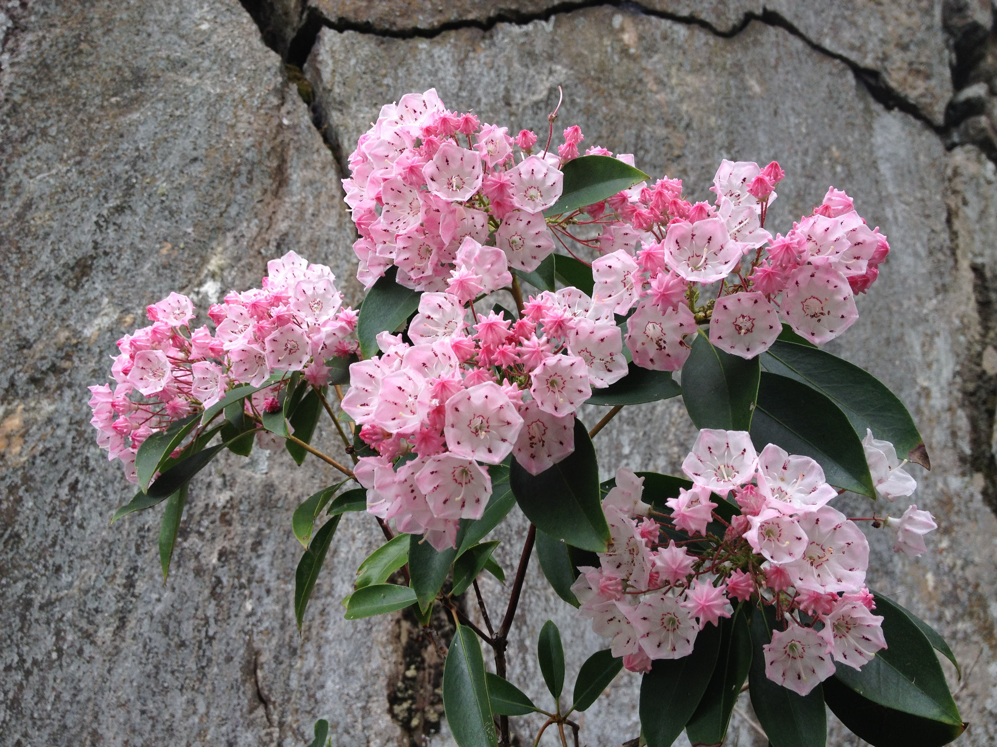 Kalmia latifolia Mountain Laurel 2