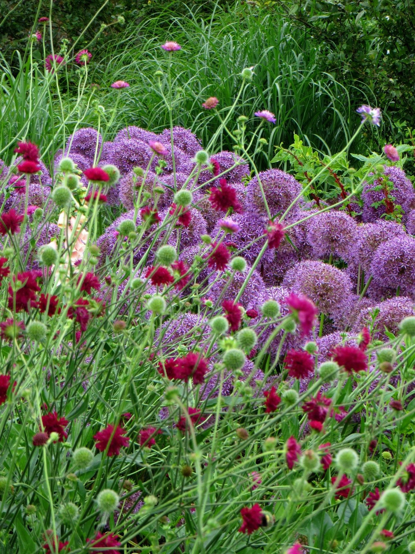 Two of my favourites for colour shape and long bloom knautia macedonica and alliums