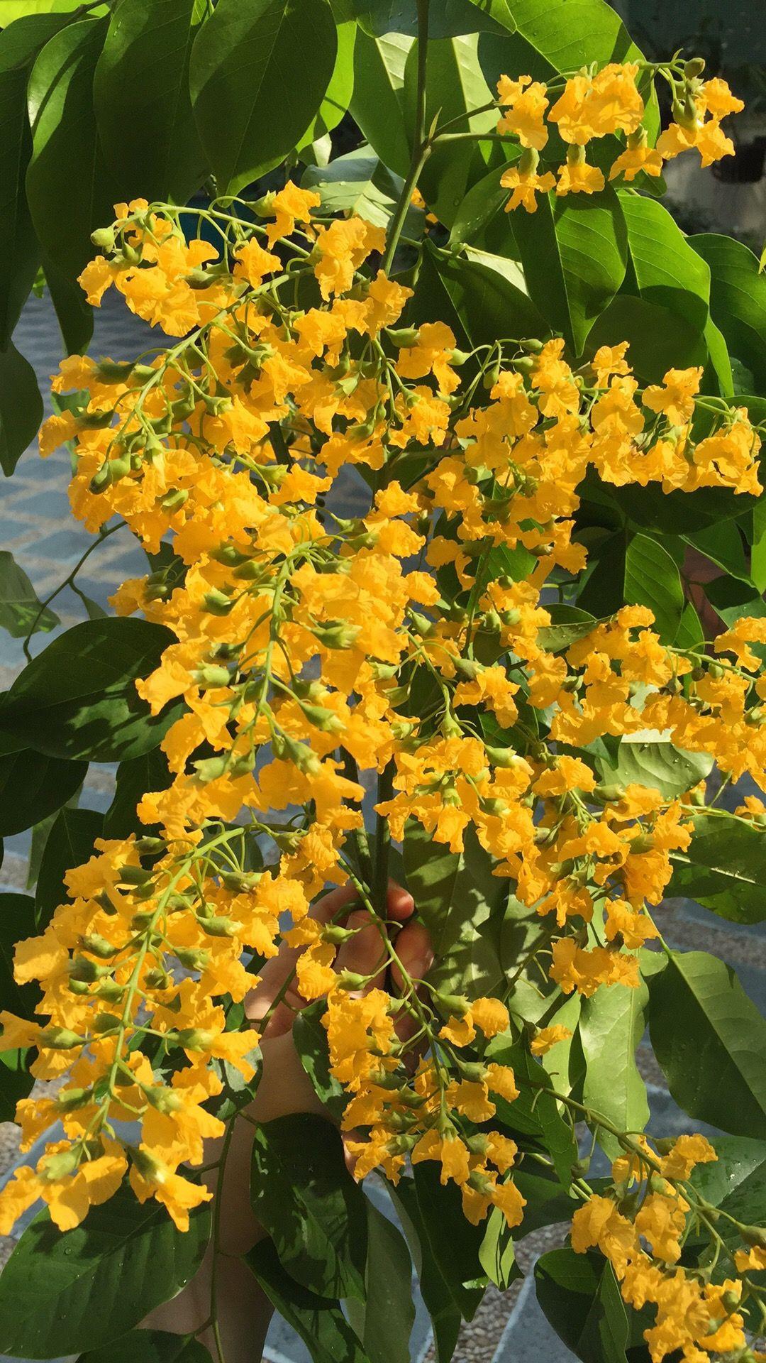 "Myanmar New Year Flower ""Padauk"""