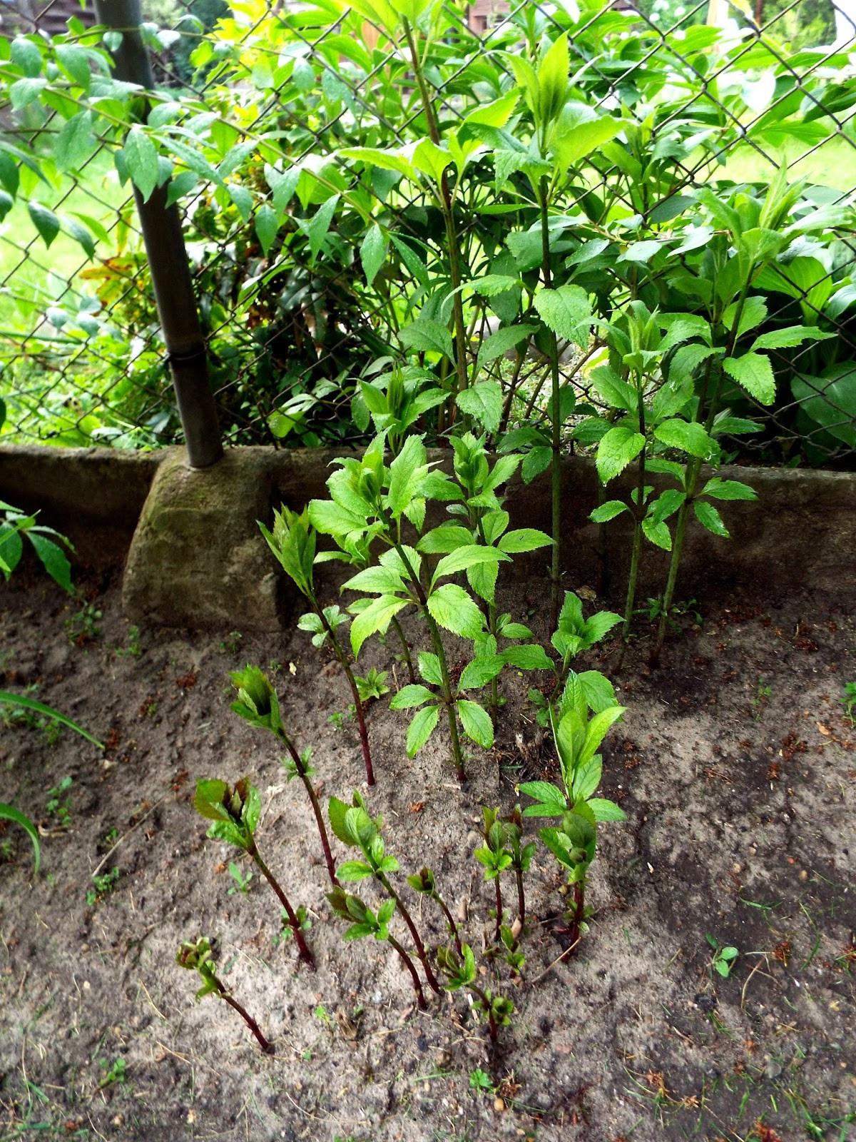 Trzmielina oskrzydlona ugina się pod własnym ciężarem Wyjątkowo też urosła w tym roku Generalnie obfitość mojego ogrodu zadziwia mnie w tym roku