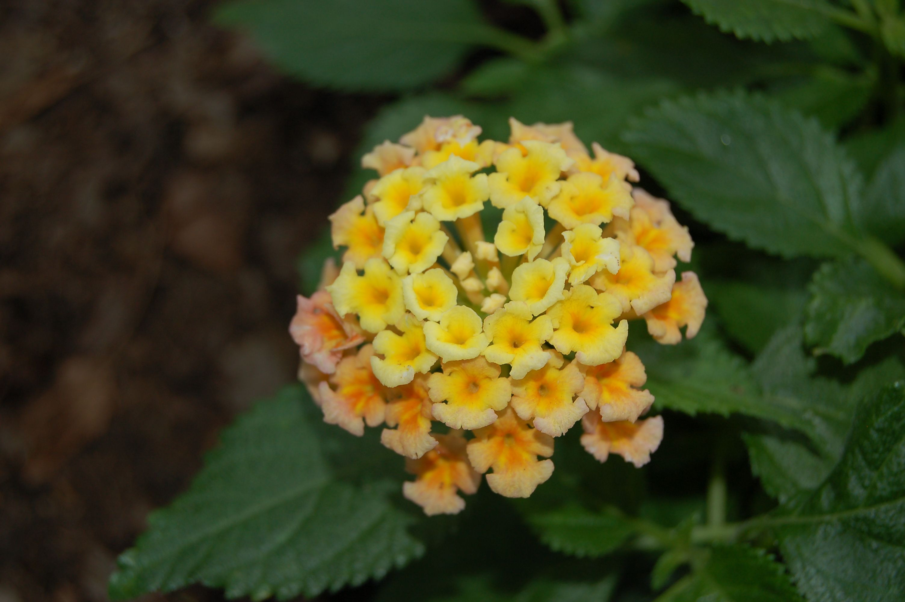 is warm enough to grow lantana outside again The one pictured here is Bandana Peach flowerseed p lantana plantm