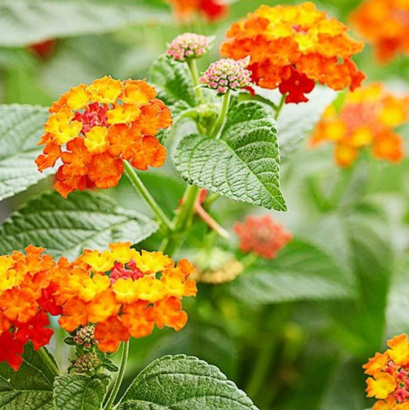 Lantana a butterfly plant Grows wild in Florida
