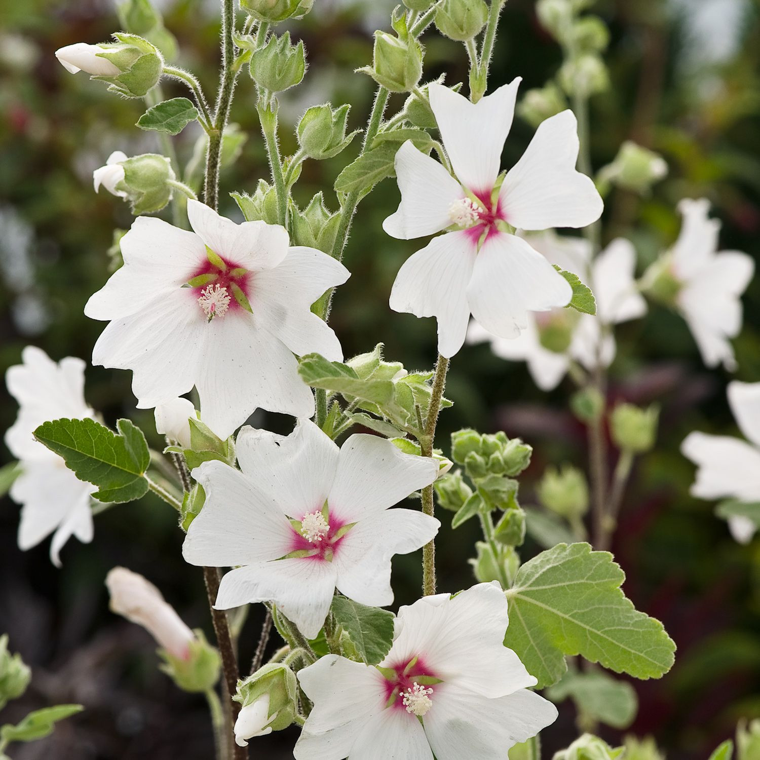 Lavatera x clementii Barnsley Baby Tree Mallow Dobbies Garden Centres