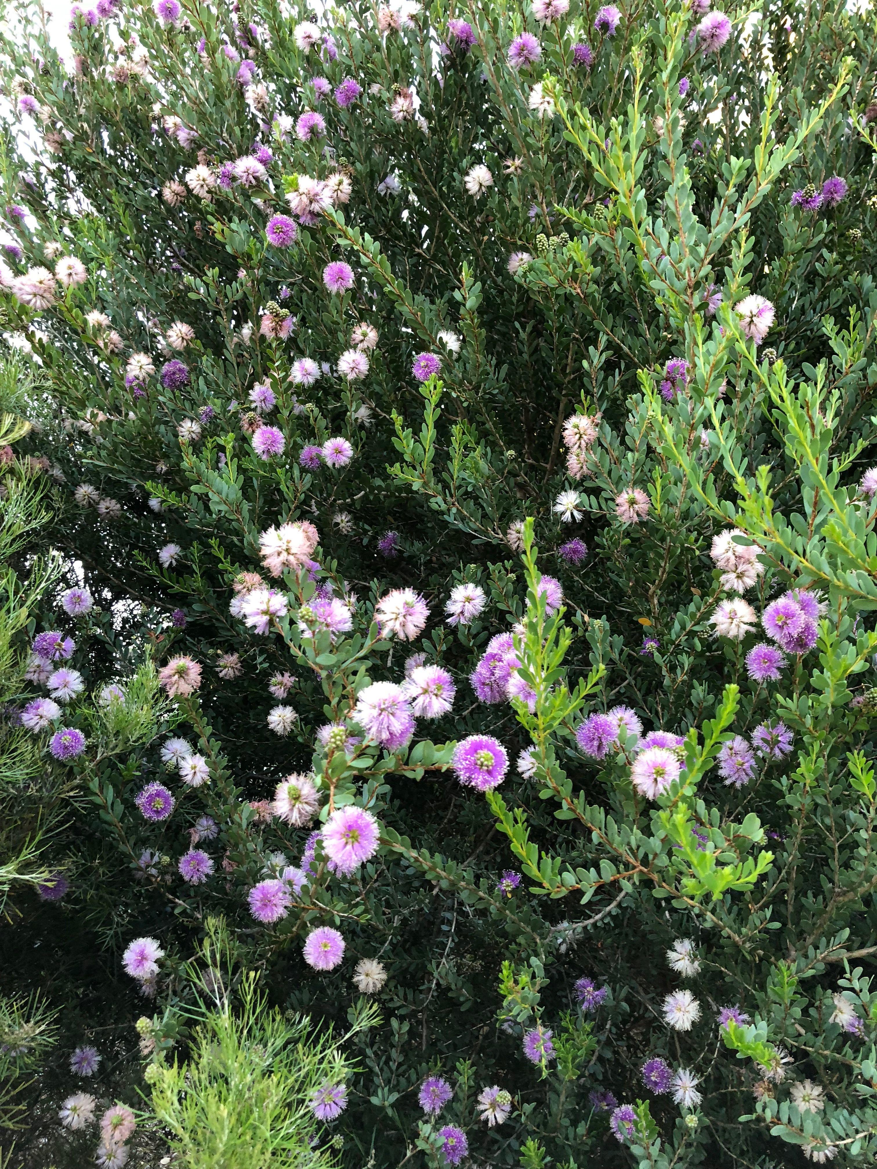 Melaleuca nesophila Pink Melaleuca Zone 9 Flower color lavender to rose pink 15 20 H & W