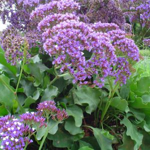 Limonium Perezii Flower Best Of Very Much A Multipurpose Plant Statice is Great as A Cutting Flower
