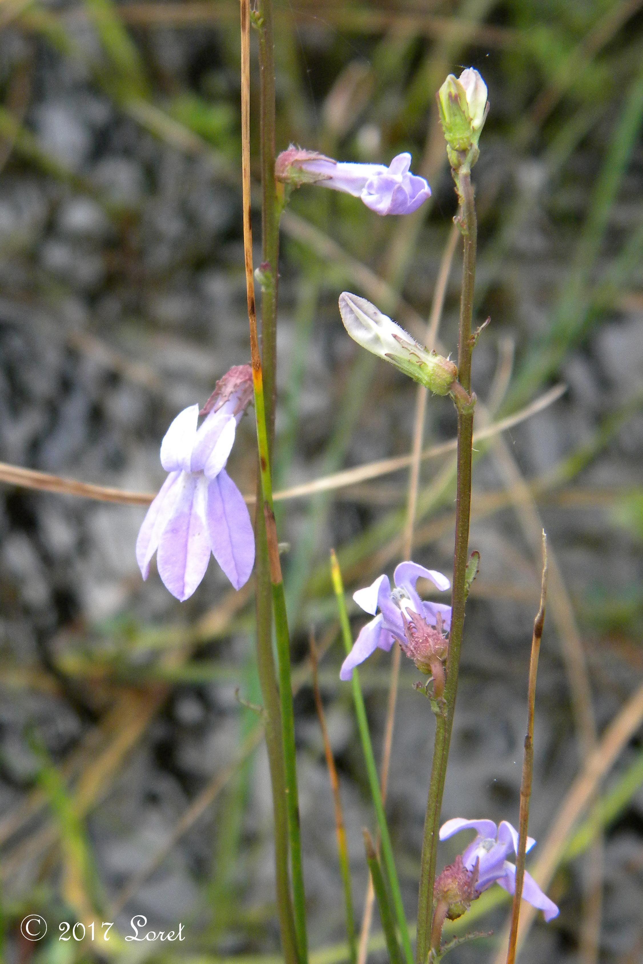 WHAT FLORIDA NATIVE PLANT IS BLOOMING TODAY GLADE LOBELIA Lobelia glandulosa Wildflower