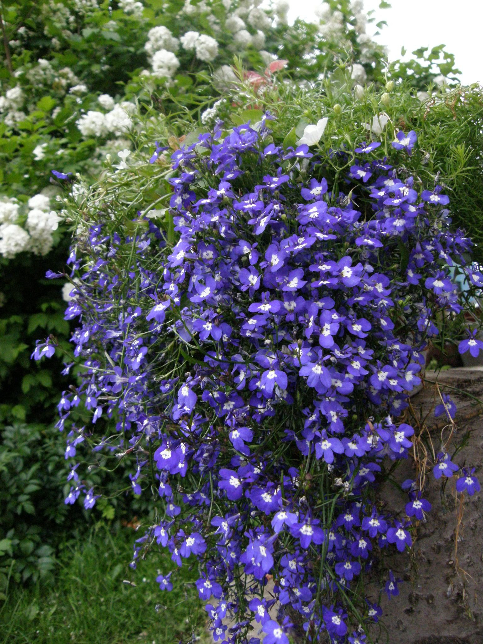 stored in the conservatory last year lobelia early blooms and blooms well thanks to fertilizing all