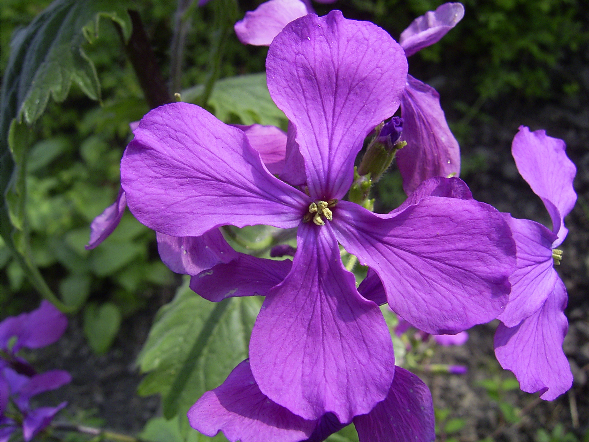 Soubor Lunaria annua closeup