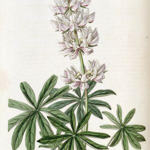 Lupinus Latifolius Flower Best Of Chick Lupine Lupinus Microcarpus Var Densiflorus Circa 1835