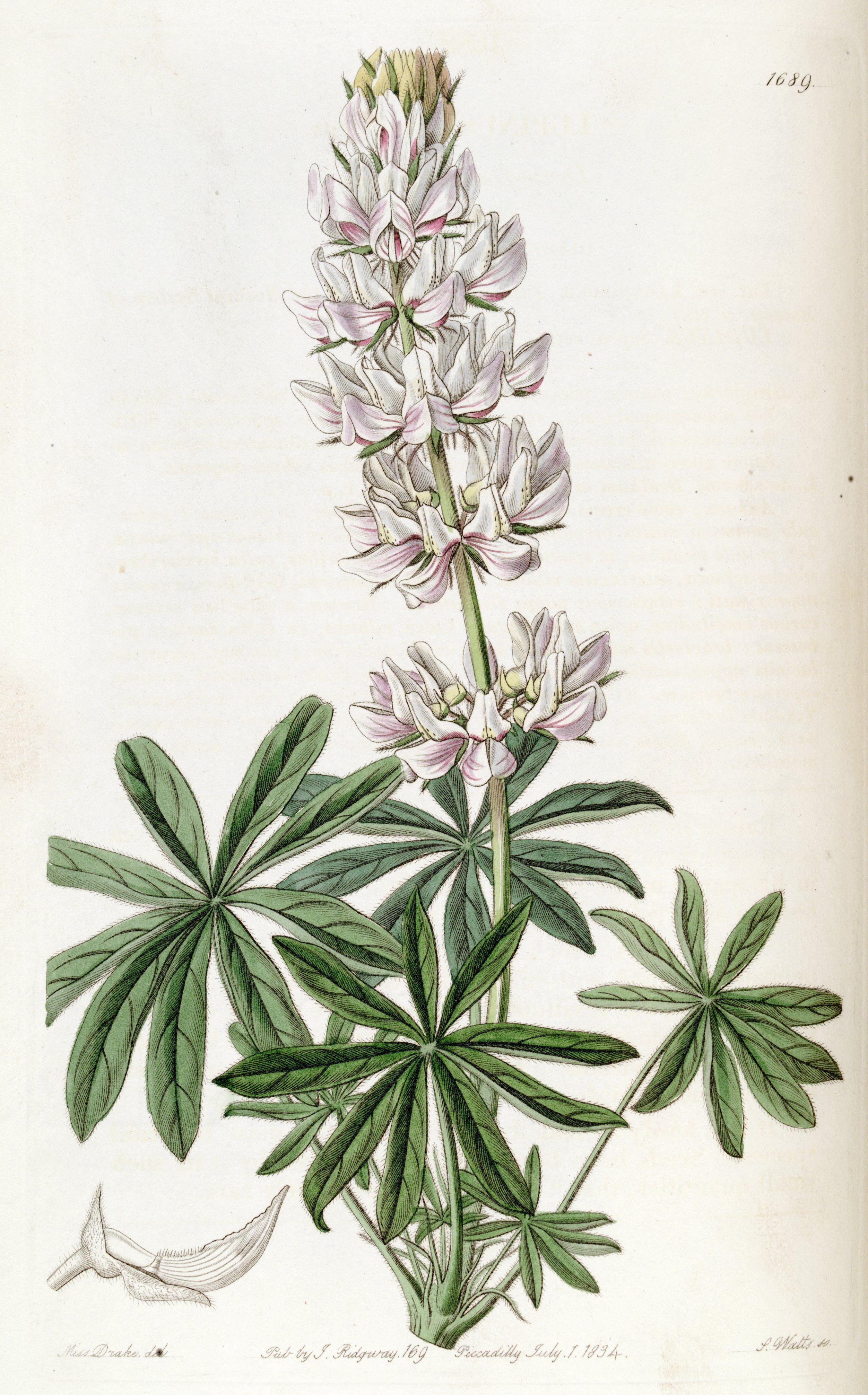Chick Lupine Lupinus microcarpus var densiflorus circa 1835