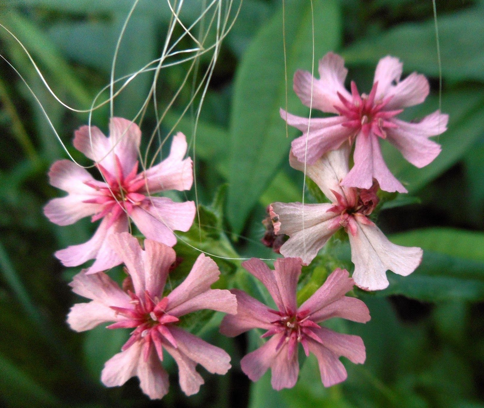 Gardening with Grace Lychnis chalcedonica Pinkie grown from seed