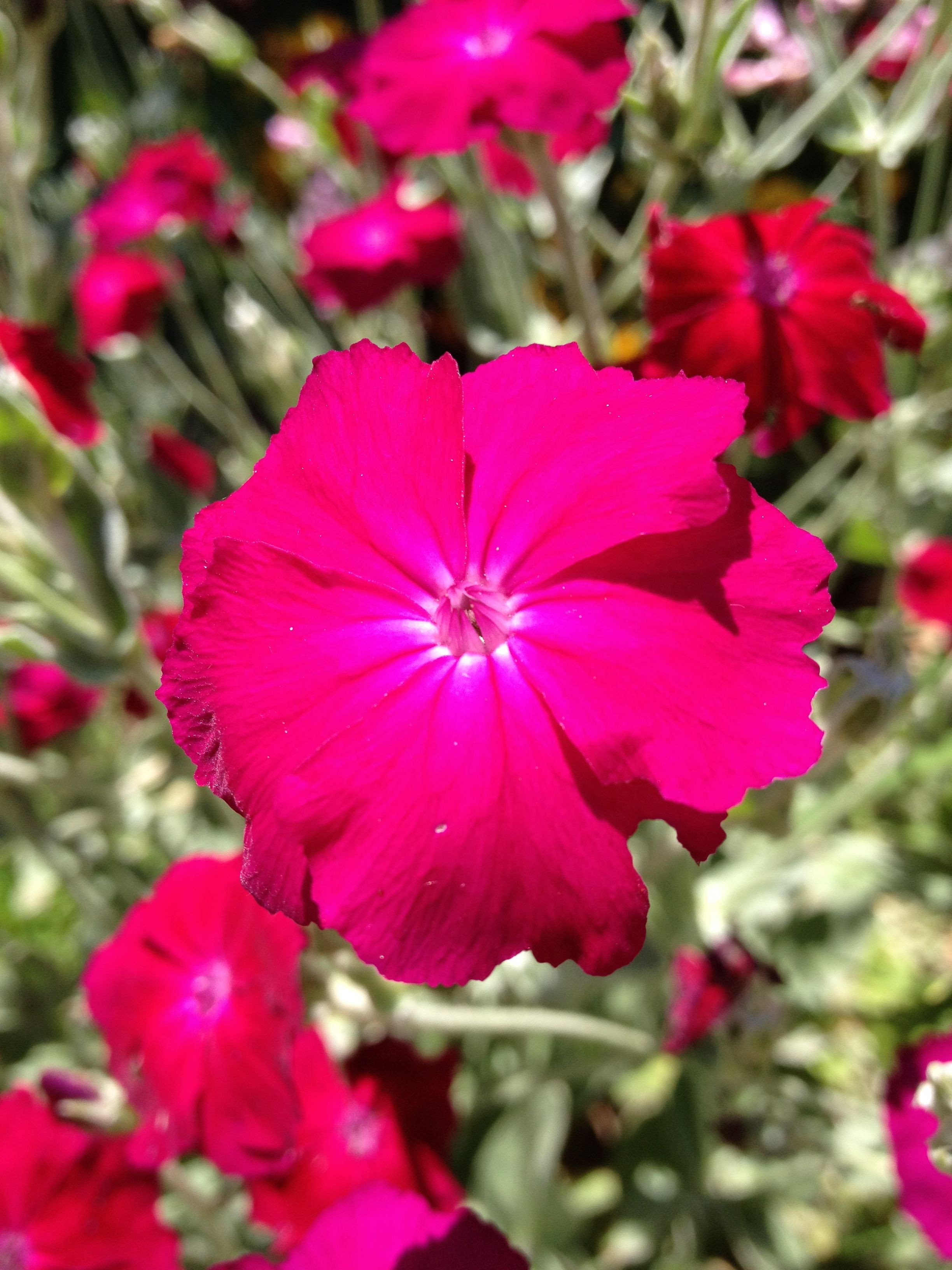 Rose Campion Lychnis Coronaria grown easily by seed silver foliage adds visual
