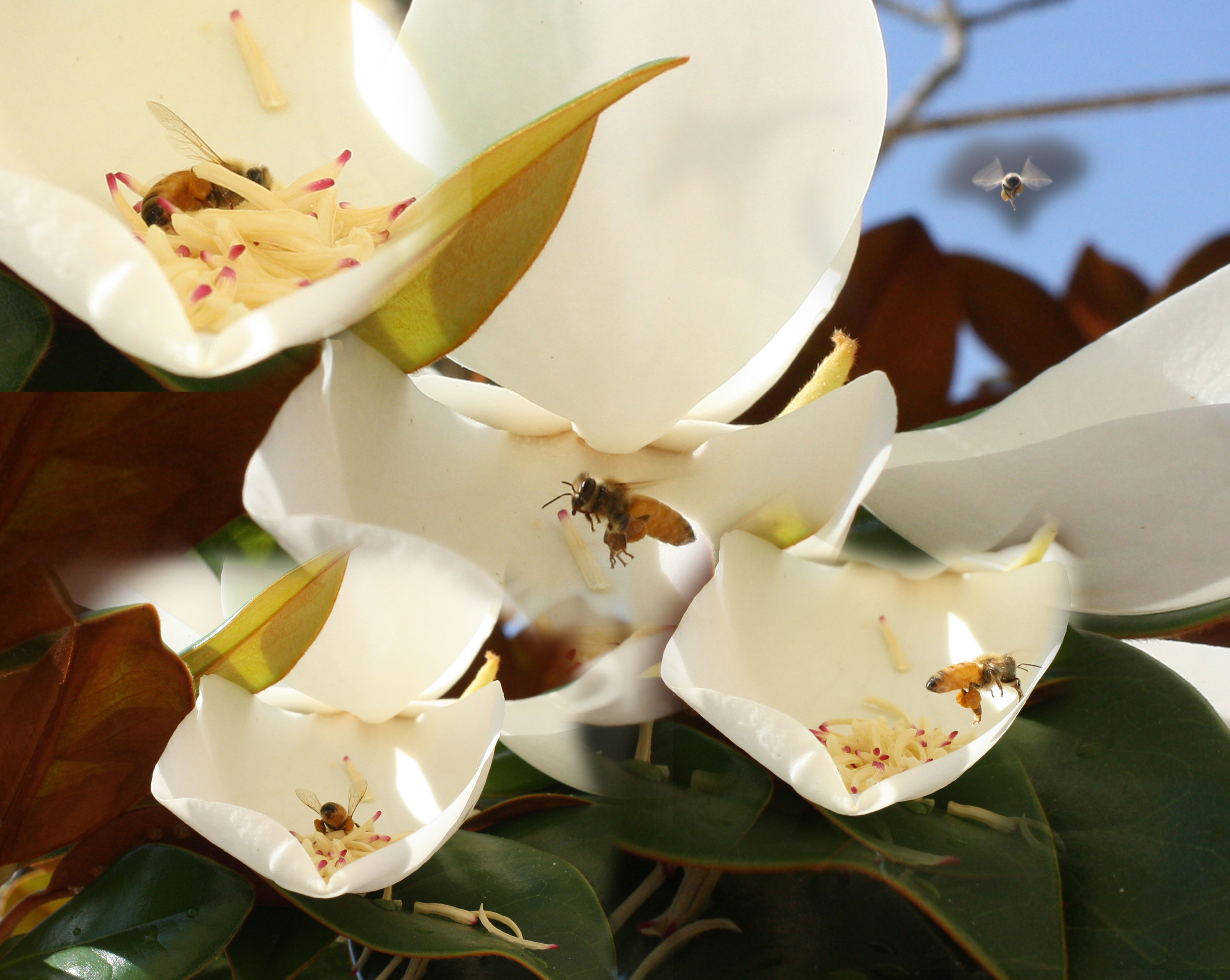 File Bee and Magnolia All bee collage