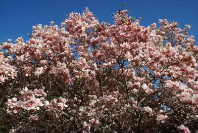 Magnolia Tree Fertilizer Beautiful Flower Arrangements And Flower