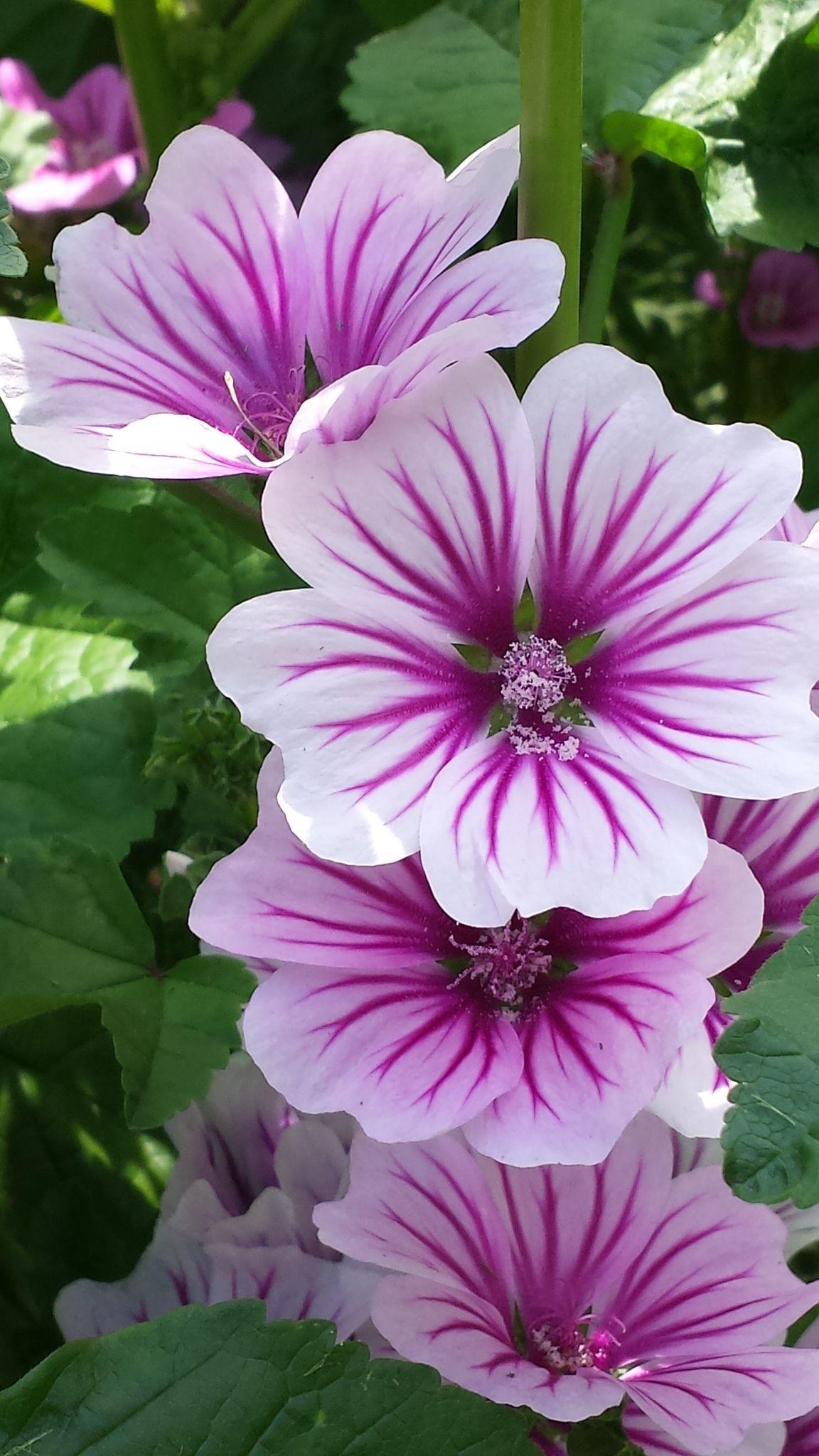 Mallow Flower Beautiful Malva Sylvestris Zebrini