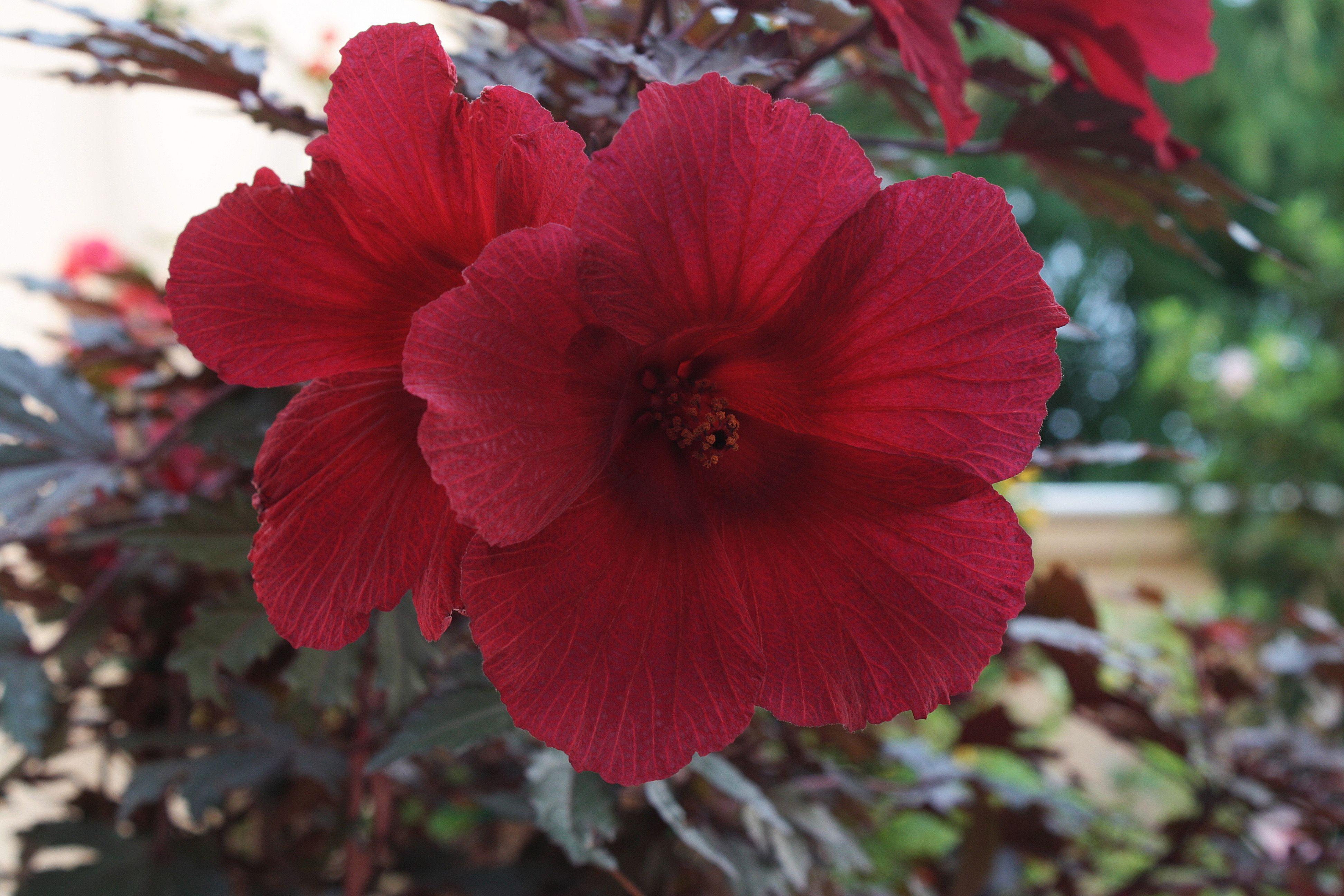 Otra de mis plantas el hibiscus rojo familia malvaceae De ngeles Sanz