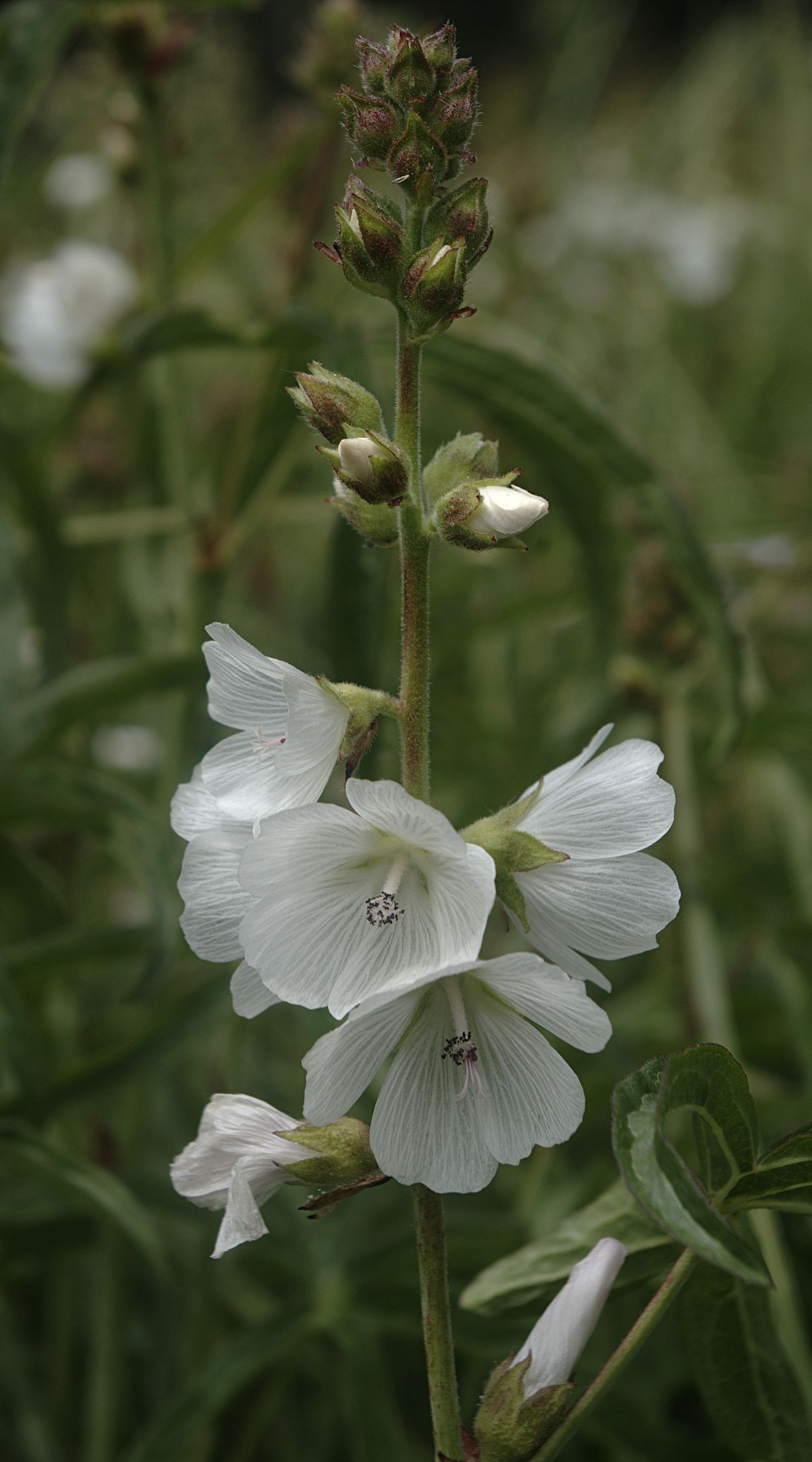 1200px Sidalcea candida flora