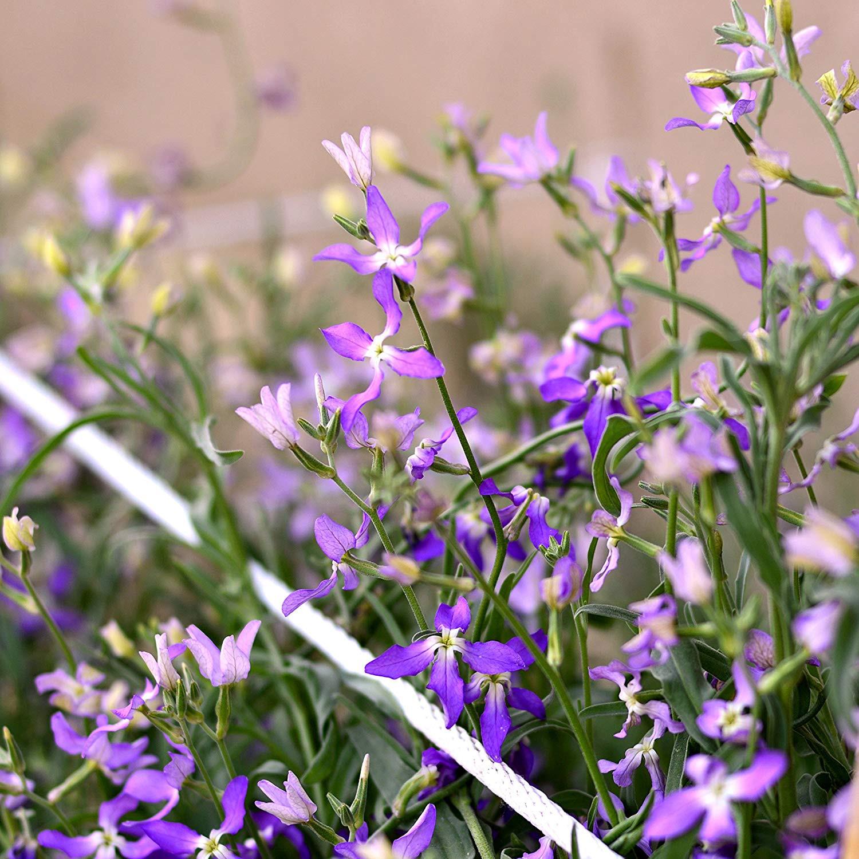 Night Scented Stock Evening Stock seeds Matthiola bicornis Amazon Garden & Outdoors