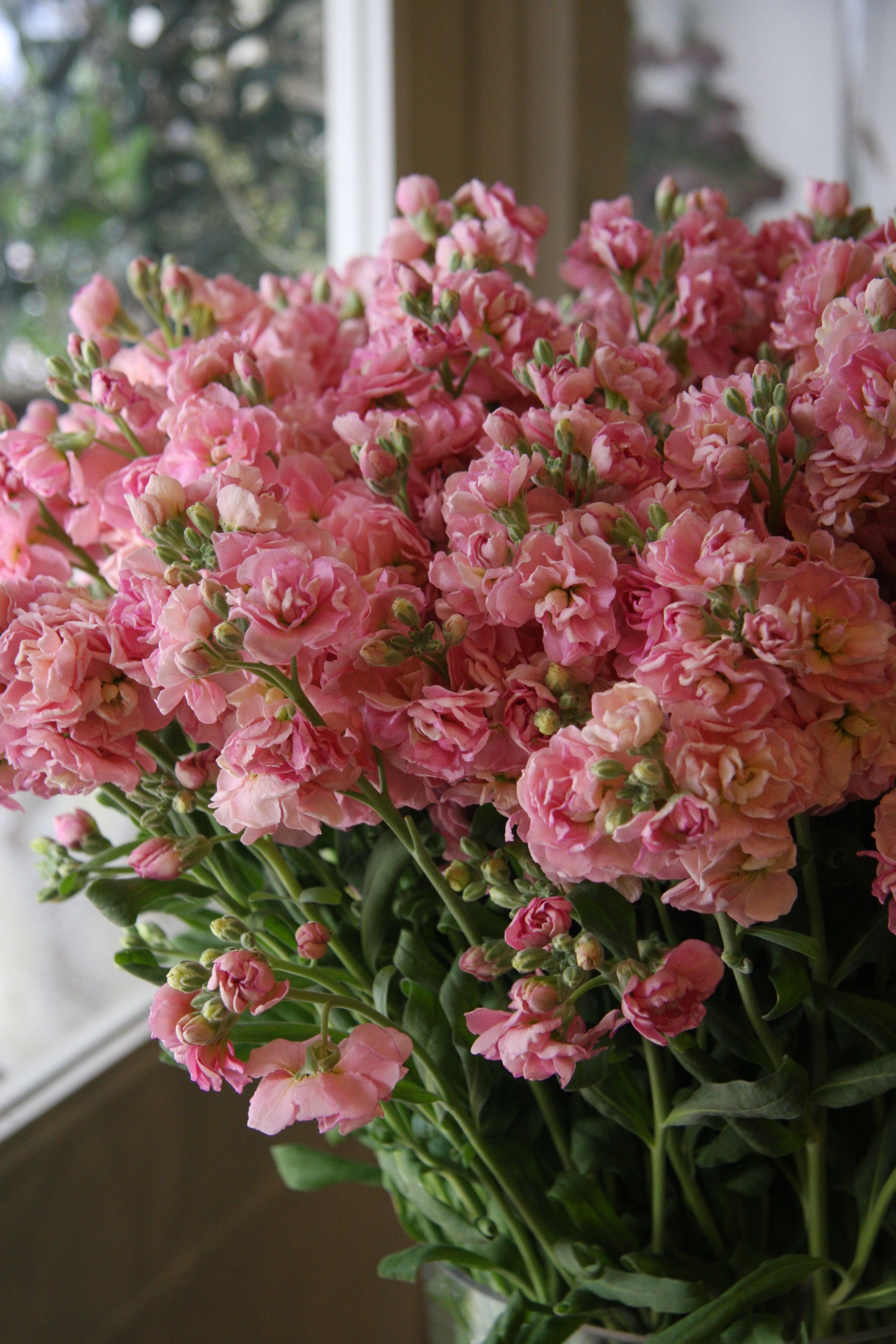 stock flower Quartet peach MATTHIOLA INCANA I don t like these there