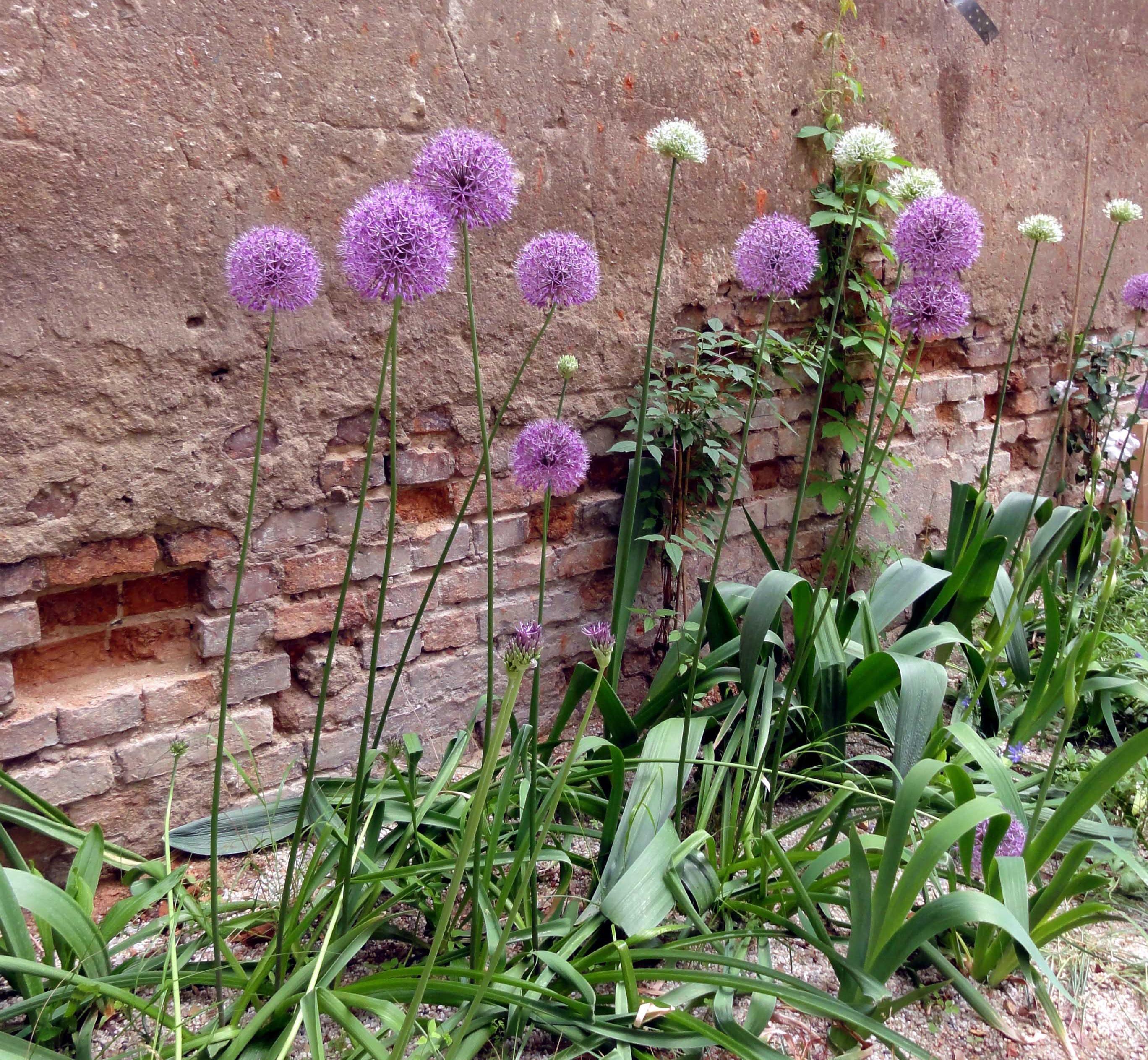Einzigartiges Blau aber auch sehr ansprüchlich der Tibet Scheinmohn Meconopsis betonicifolia Lieblingspflanzen Pinterest