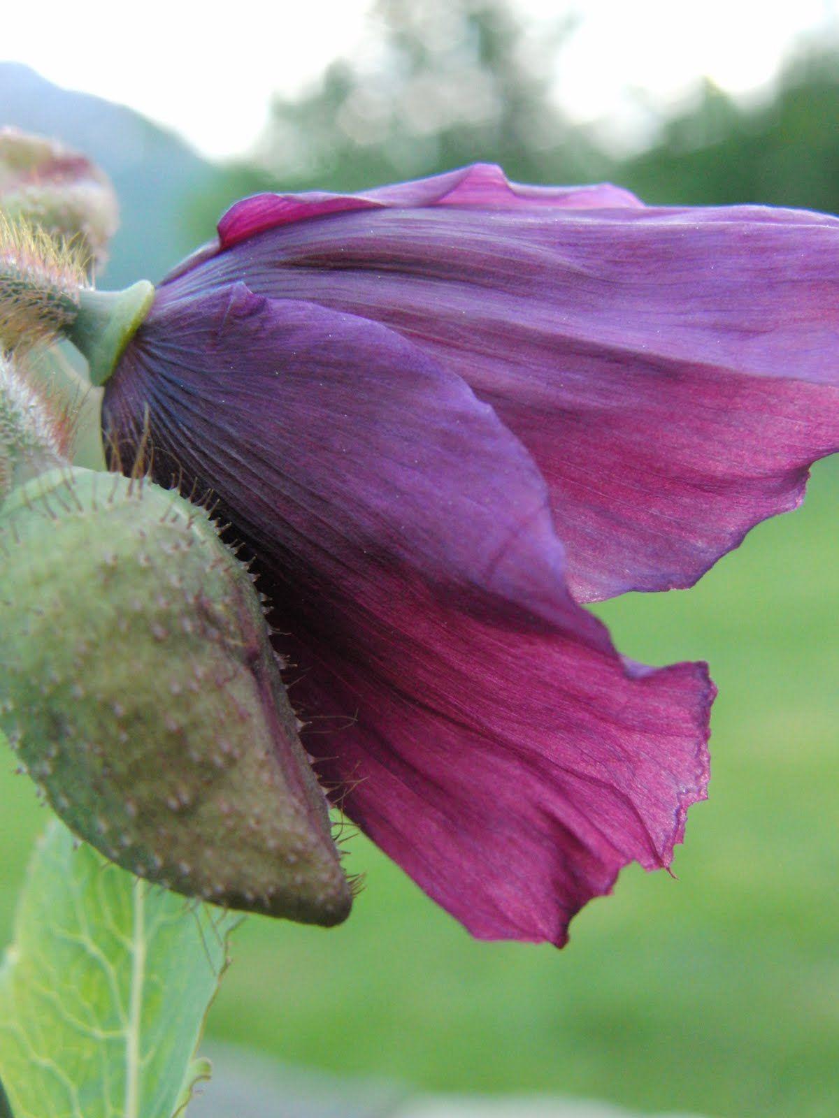 Meconopsis betonicifolia Hensol Violet 3 JPG 1 200 —