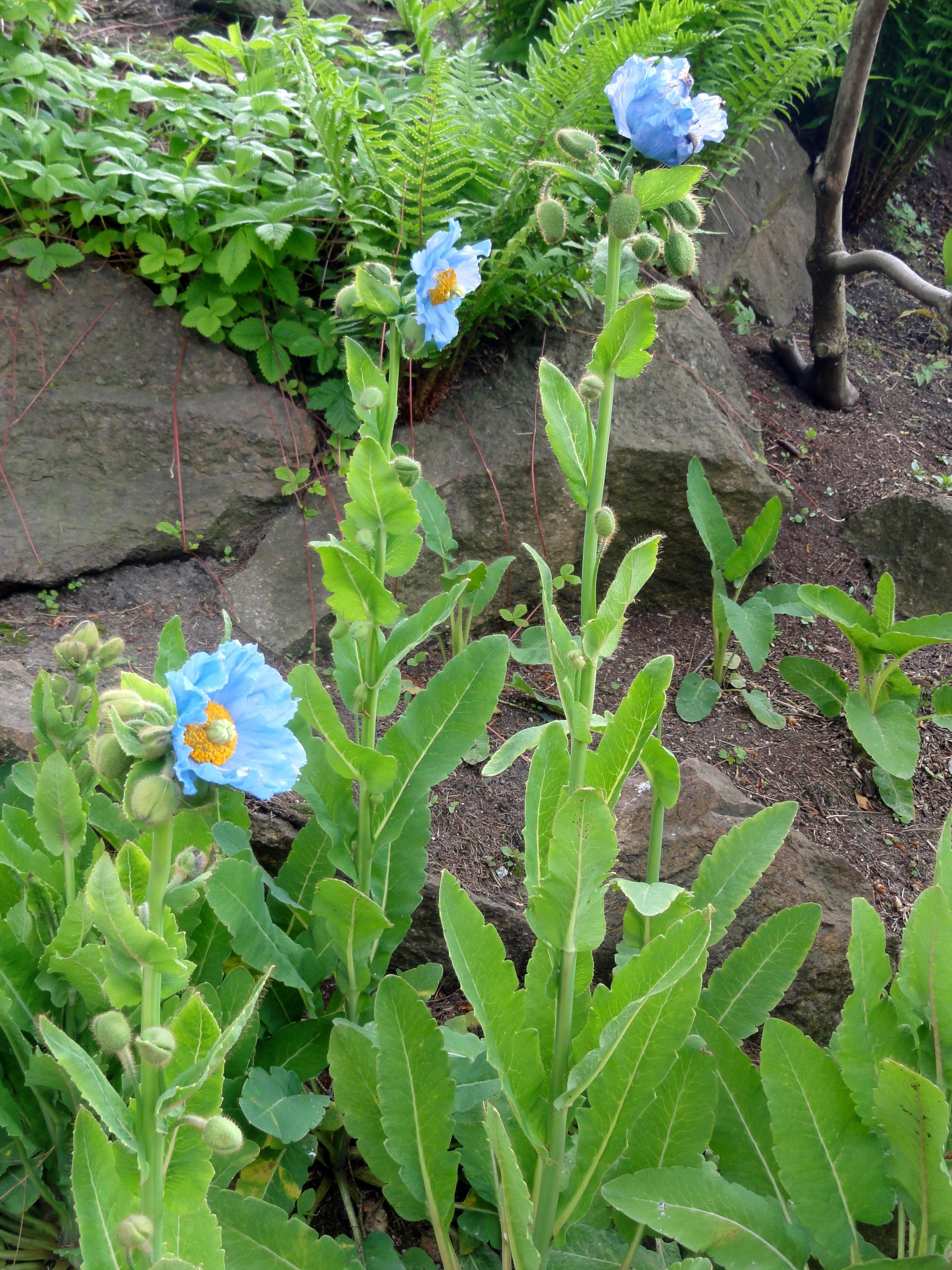 Einzigartiges Blau aber auch sehr ansprüchlich der Tibet Scheinmohn Meconopsis betonicifolia
