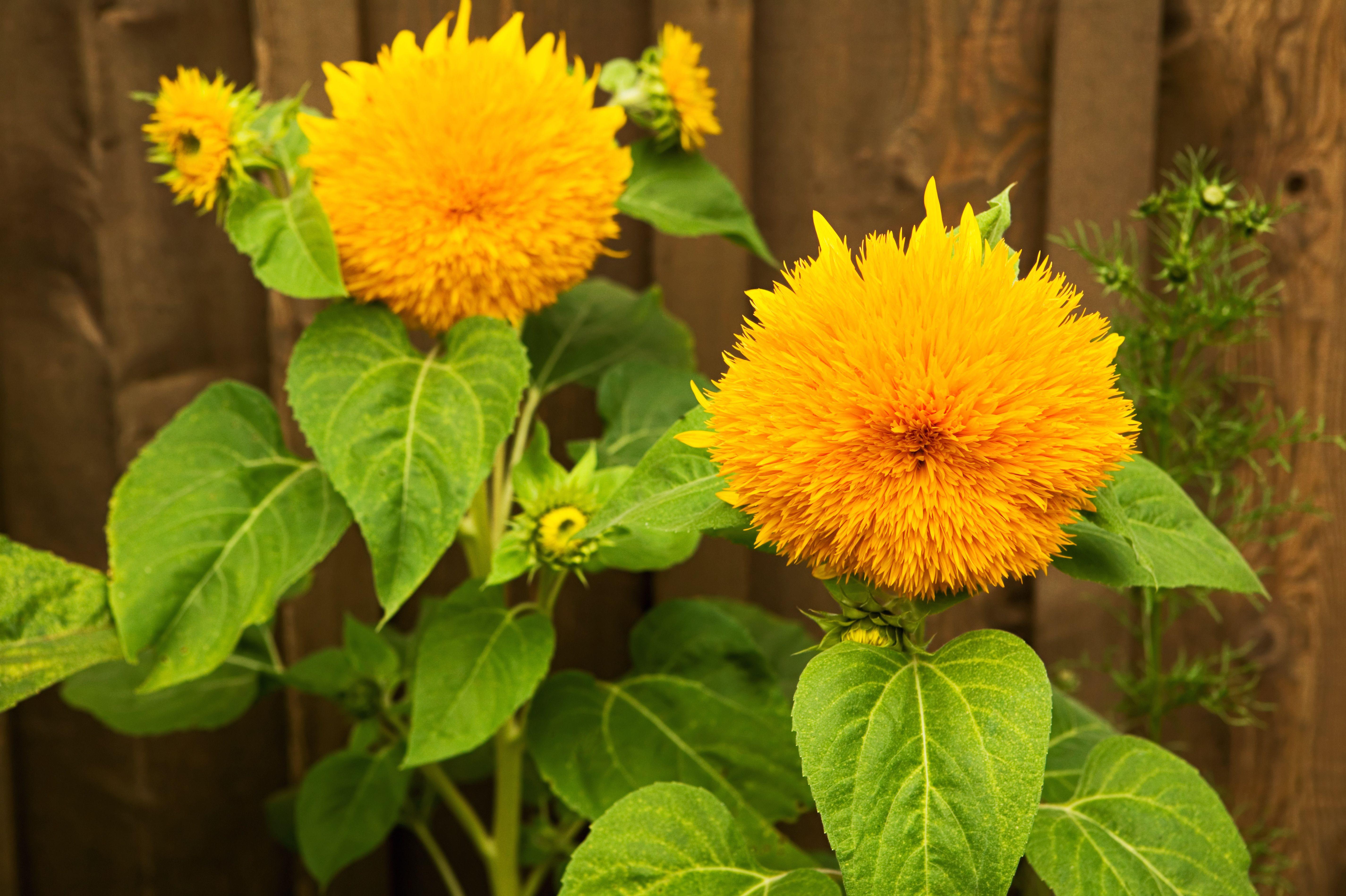 teddy bear sunflowers 5b1c45e28e1b6e0036f133d8