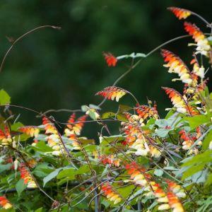 Mina Lobata Flower Elegant Ipomoea Lobata Ipomoea Versicolor Mina Lobata Wilec Klapowany