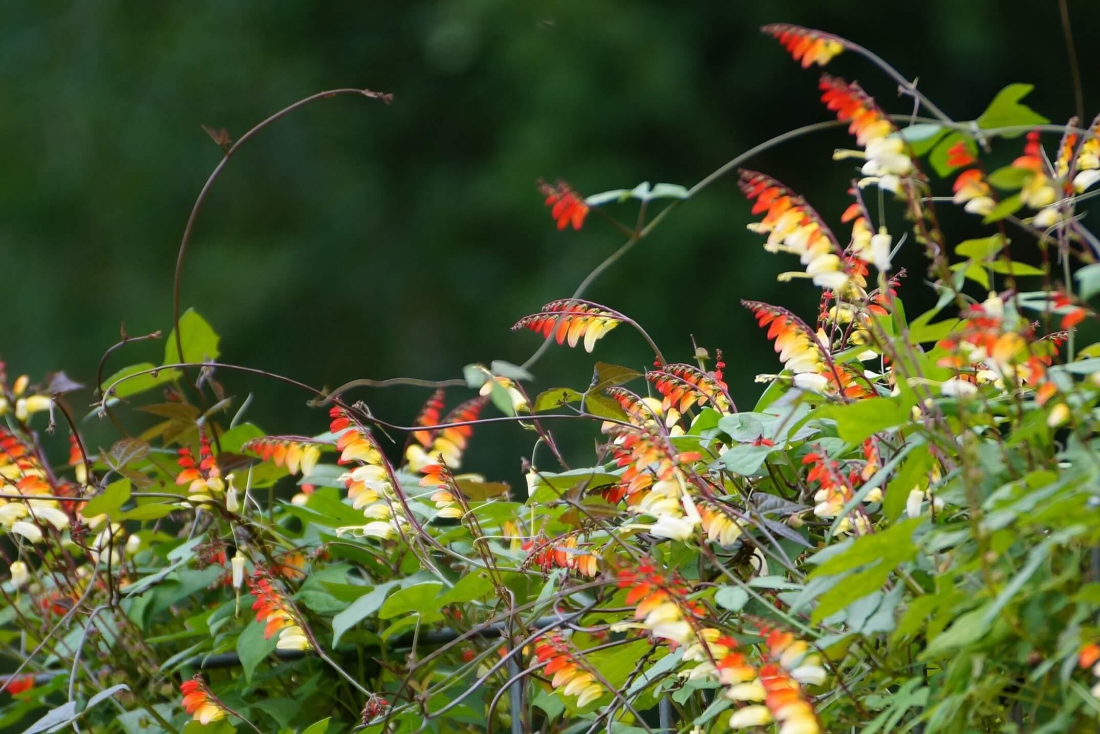 Ipomoea lobata Ipomoea versicolor Mina lobata – wilec klapowany