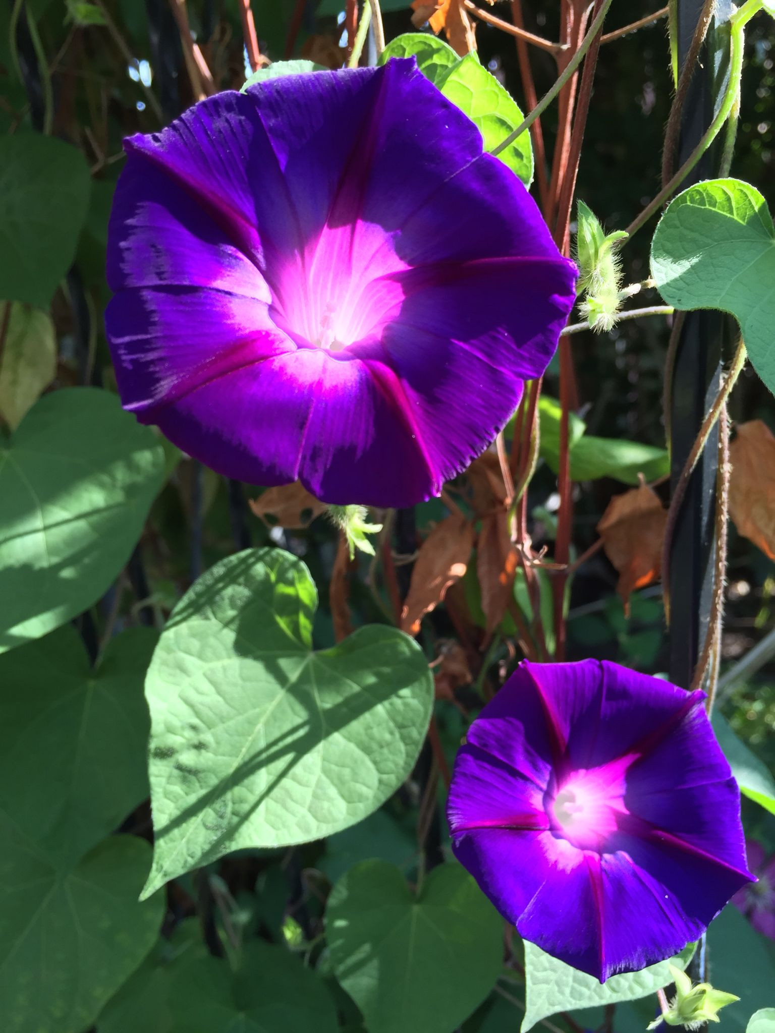 Morning Glories by Hamlin Grange morningglories flowers garden gardenphotography purpleflowers