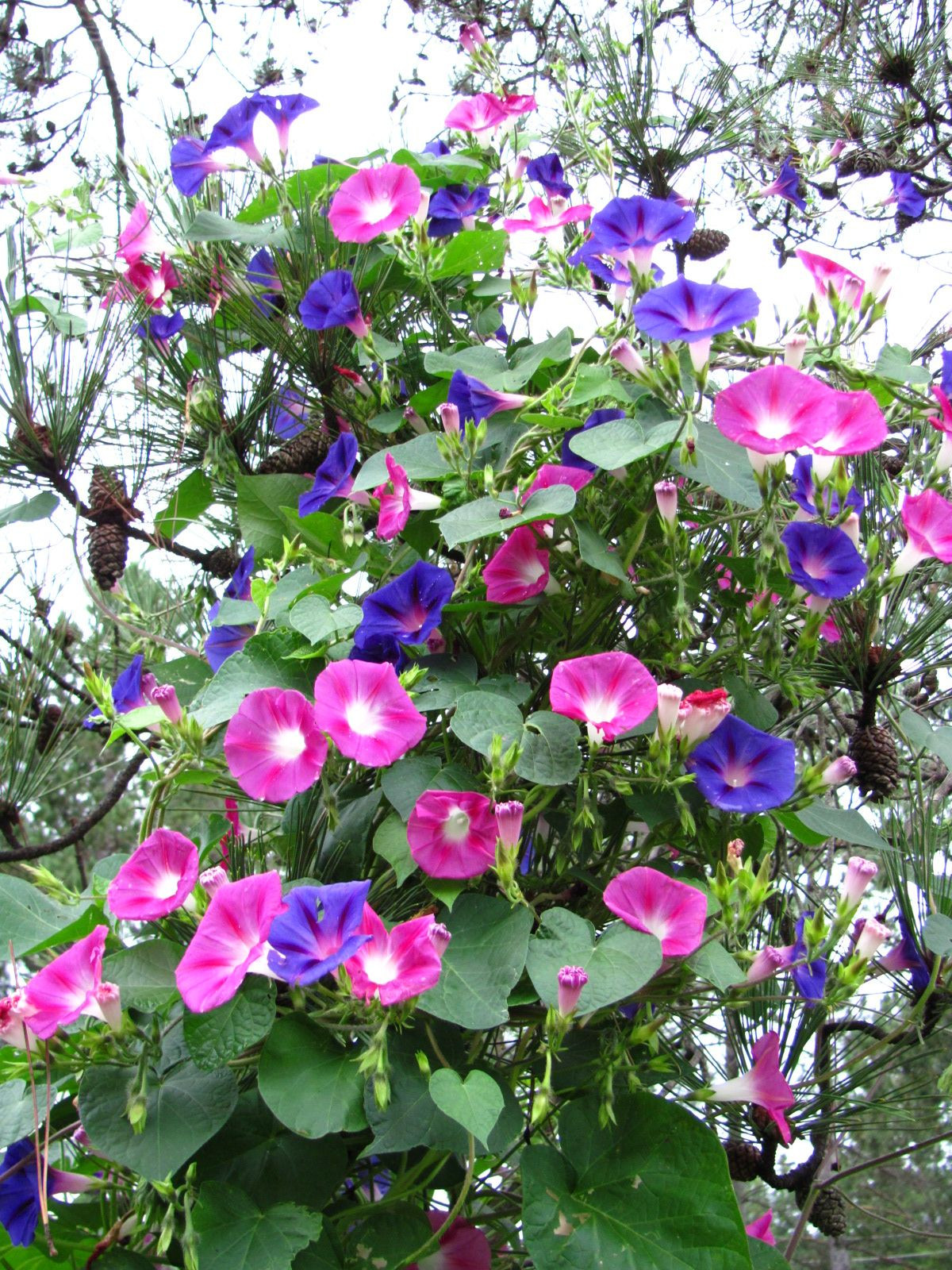 I love morning glories These will be all over my stone cottage in TX on day