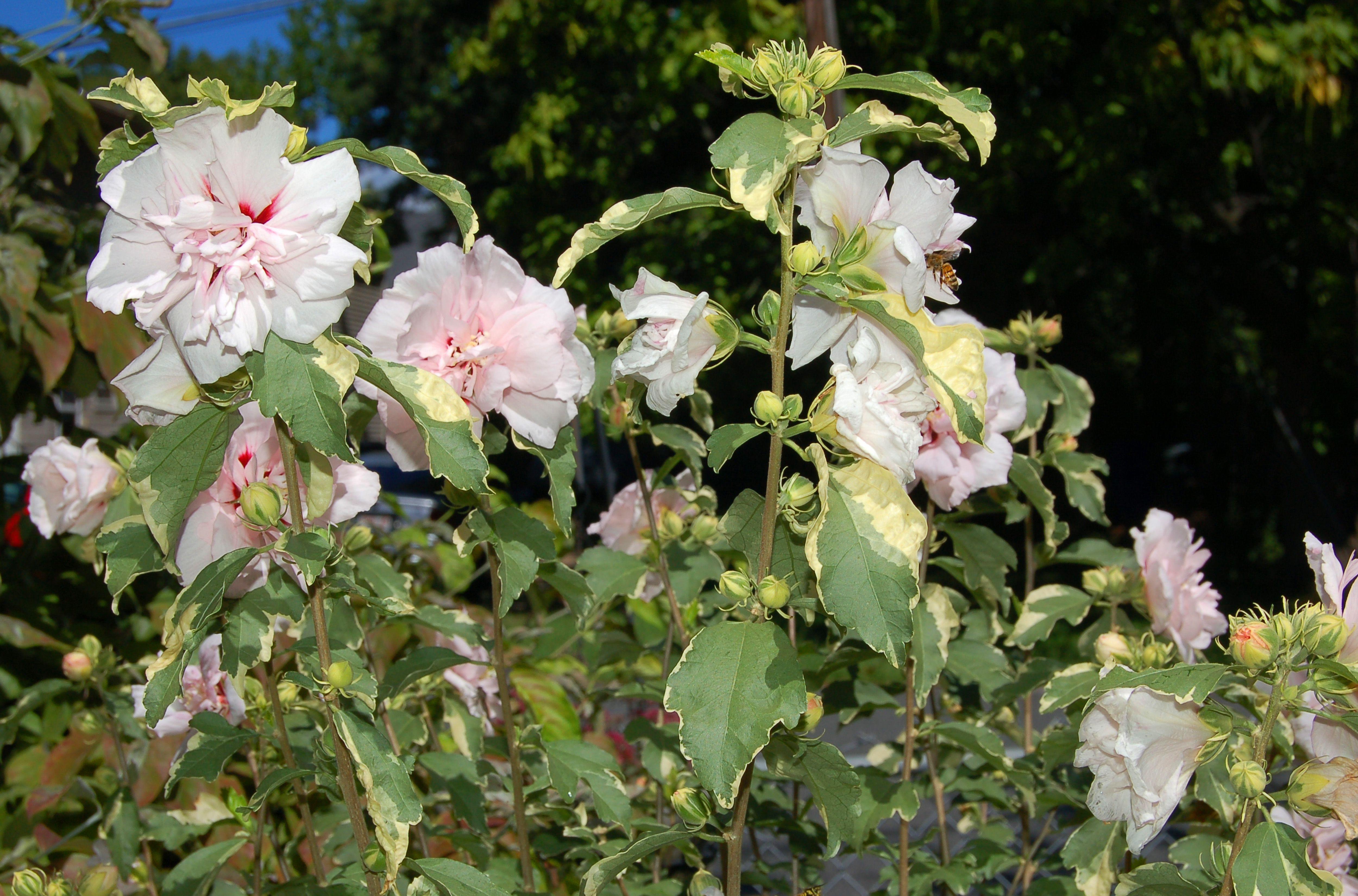 Sugar Tip rose of Sharon blooms big 57bb1eb95f9b58cdfde452a4