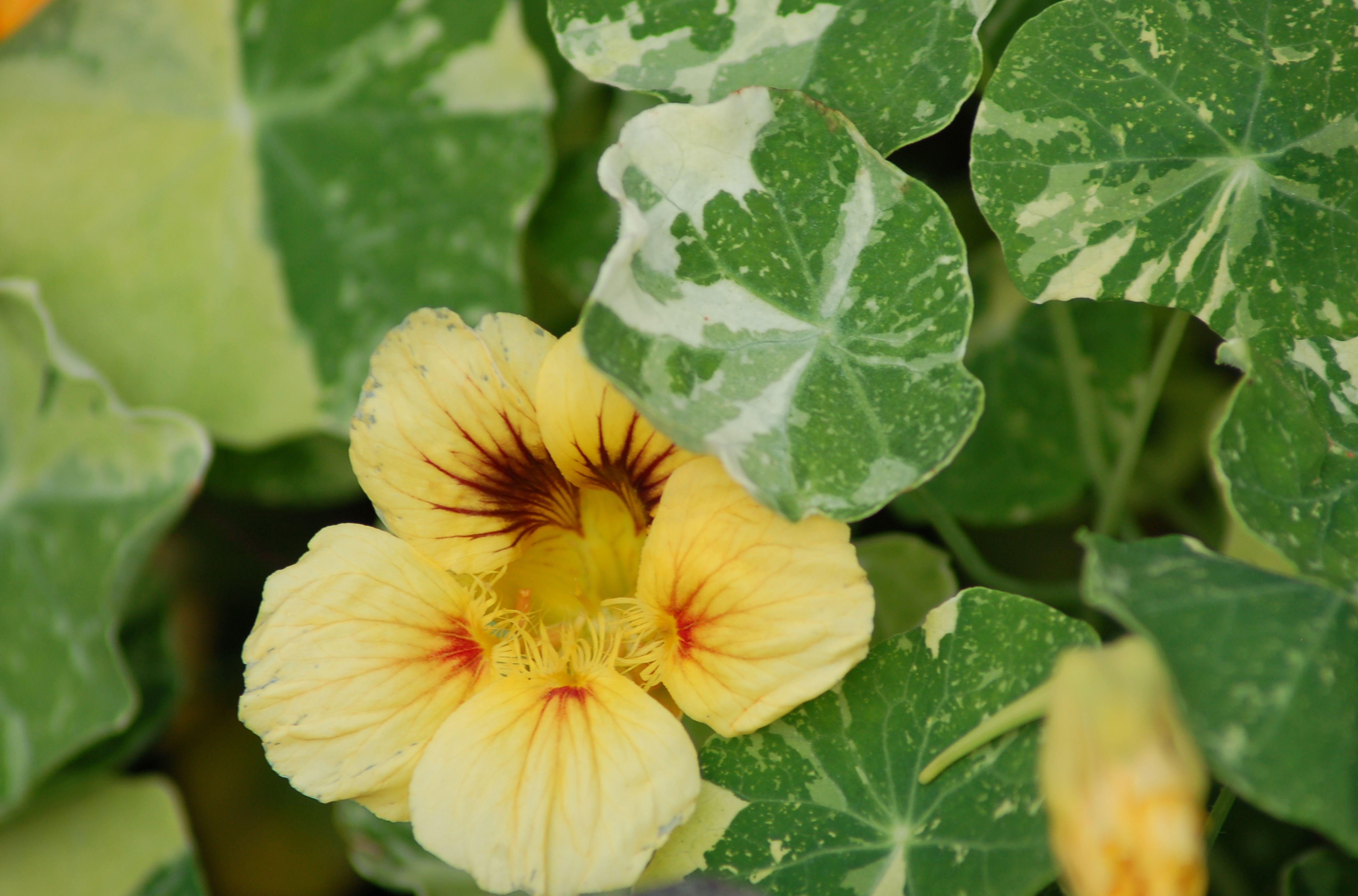 variegated nasturtium big 5a81e9be0e23d eee