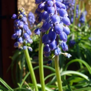 Muscari Flowers Flower Best Of Muscari Botryoides Also Known as Grape Hyacinth Blooms In Late