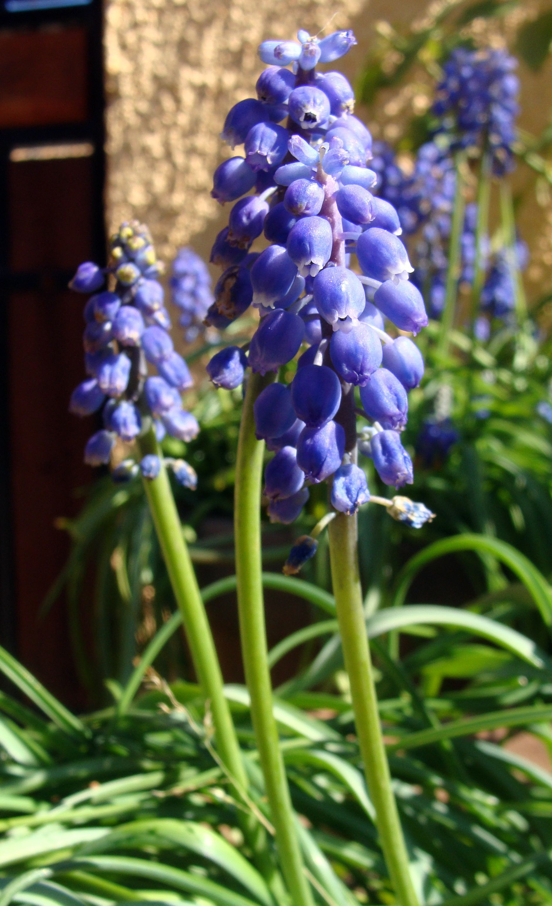 Muscari botryoides also known as Grape hyacinth blooms in late winter to very early spring
