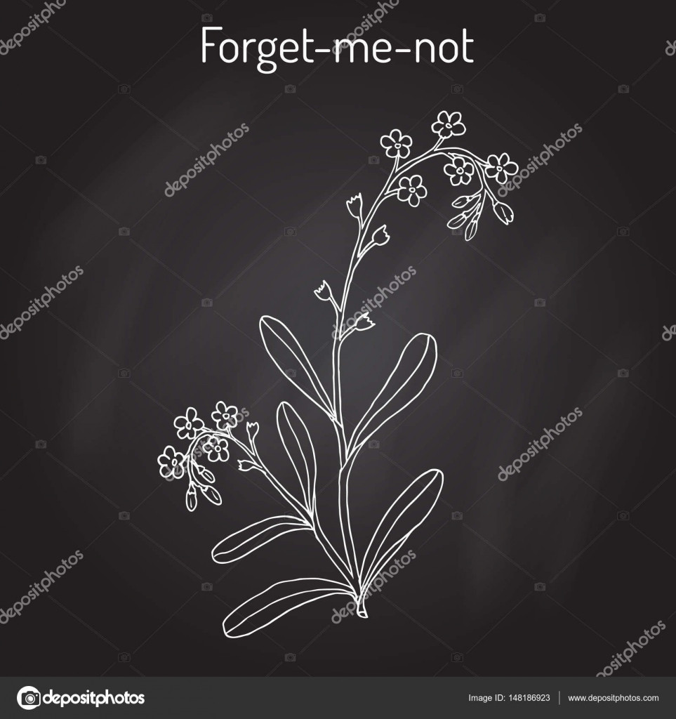 For me not Myosotis arvensis Hand drawn botanical vector illustration — Vector by Foxyliam