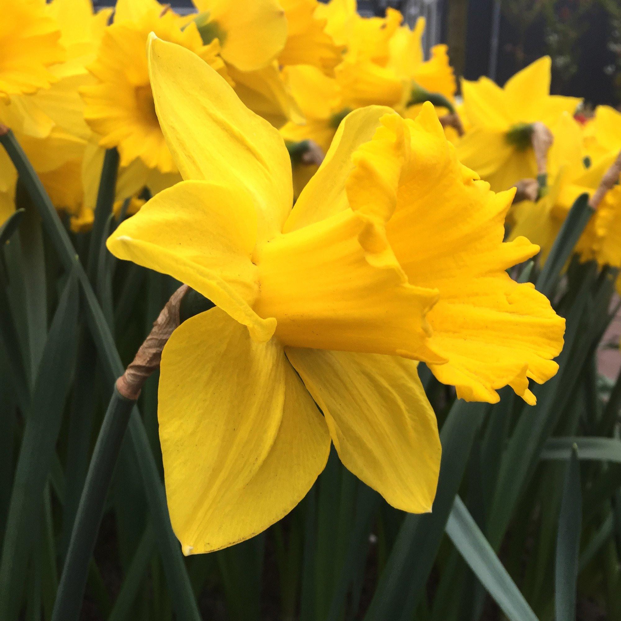 Daffodil Marieke