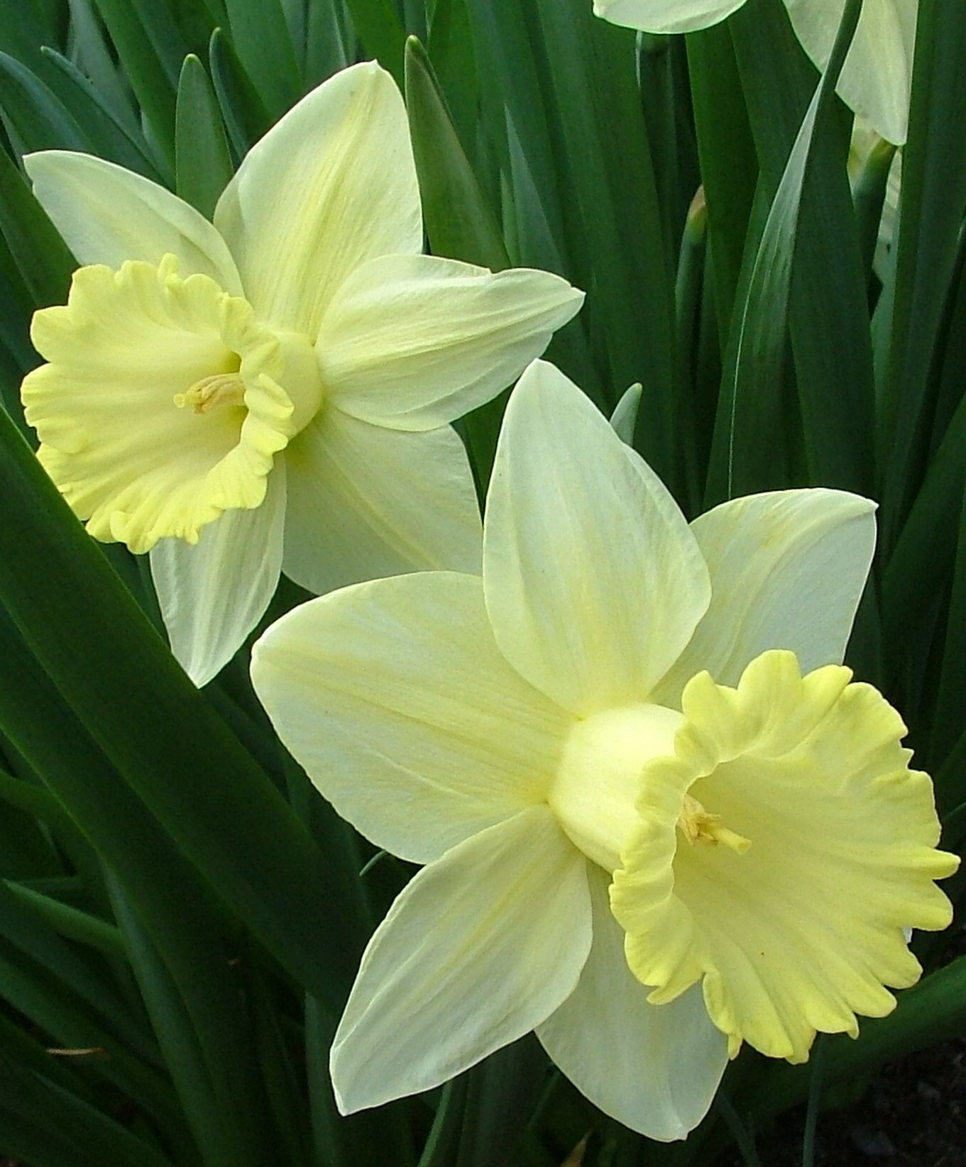Narcissus December birth flower in turqoise December birthstone 2 for both of my daughters